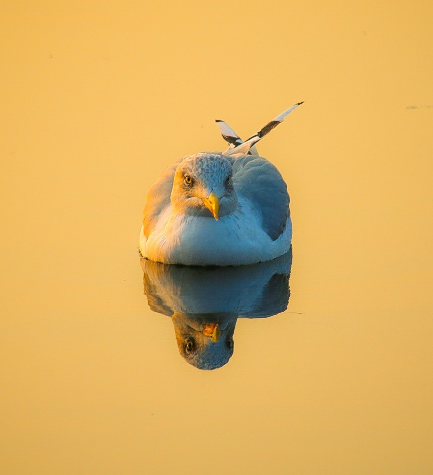 Gull by Ingstina