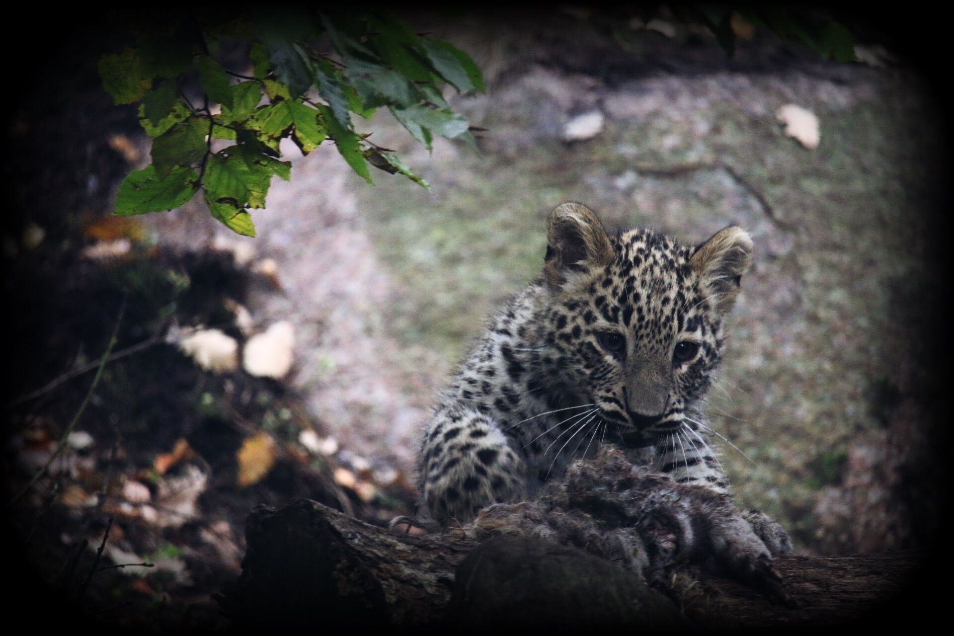 Persian leopard kitten by Ingstina