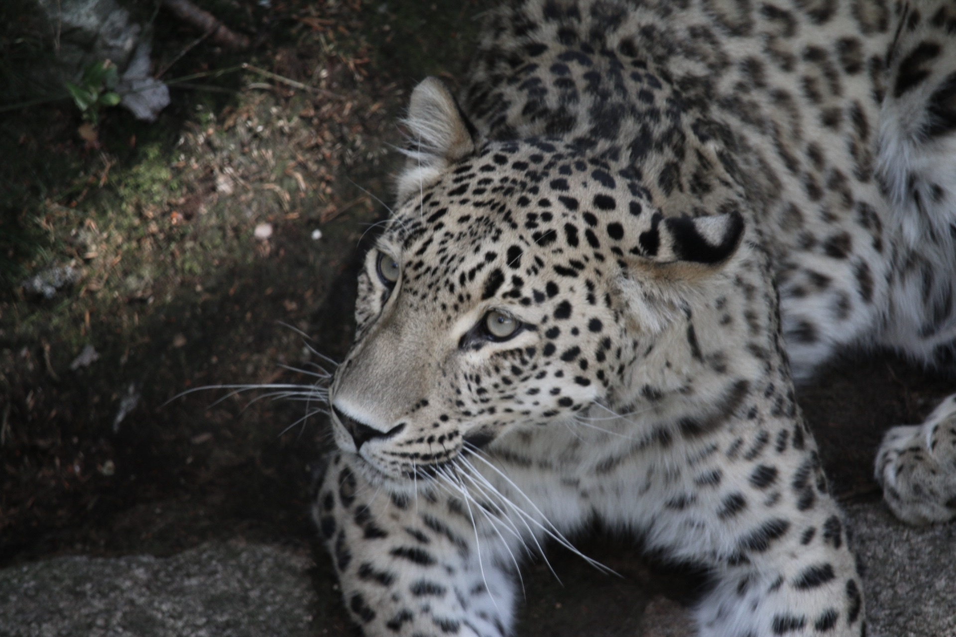 Snowleopard #endangered by Ingstina