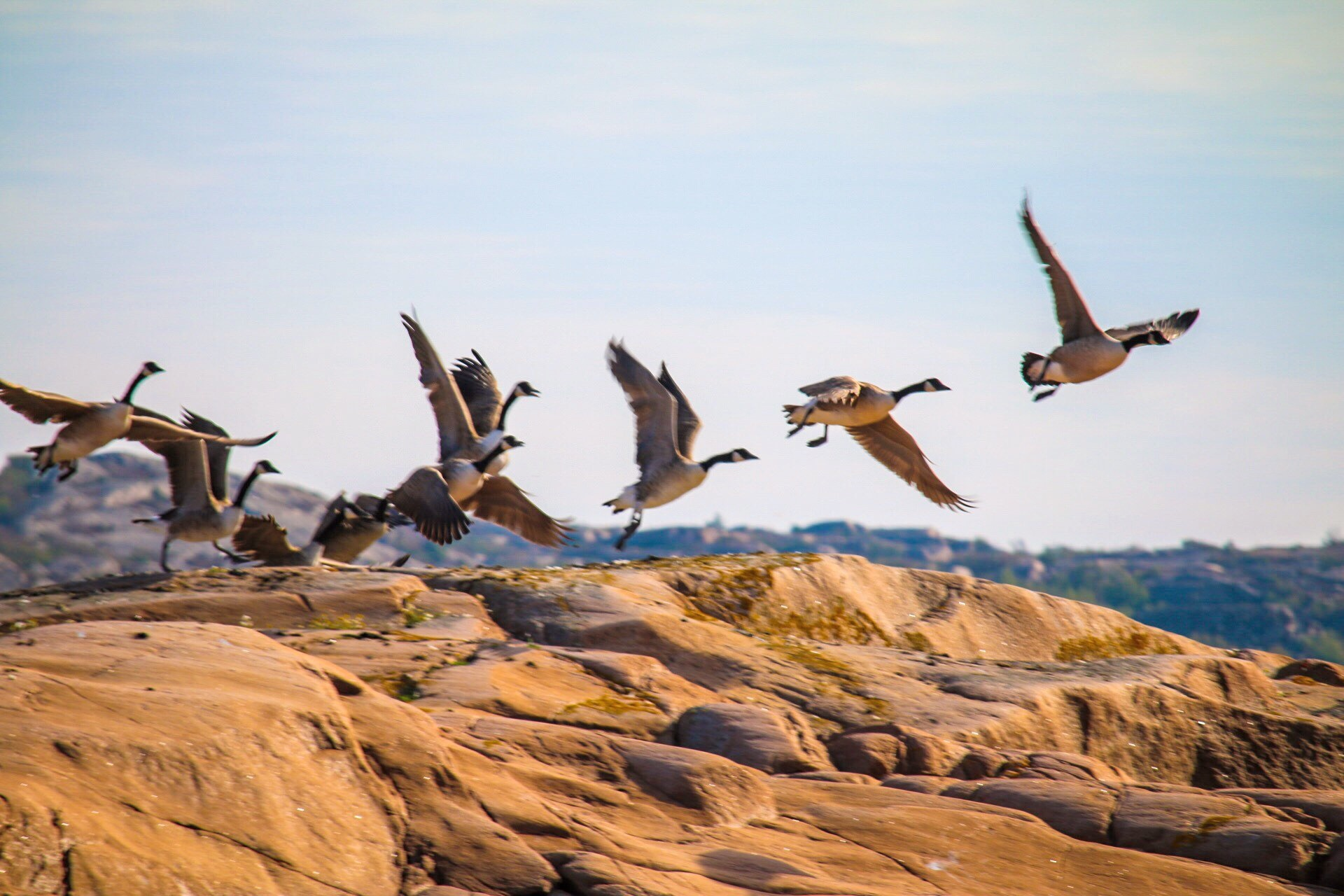 Canada geese by Ingstina