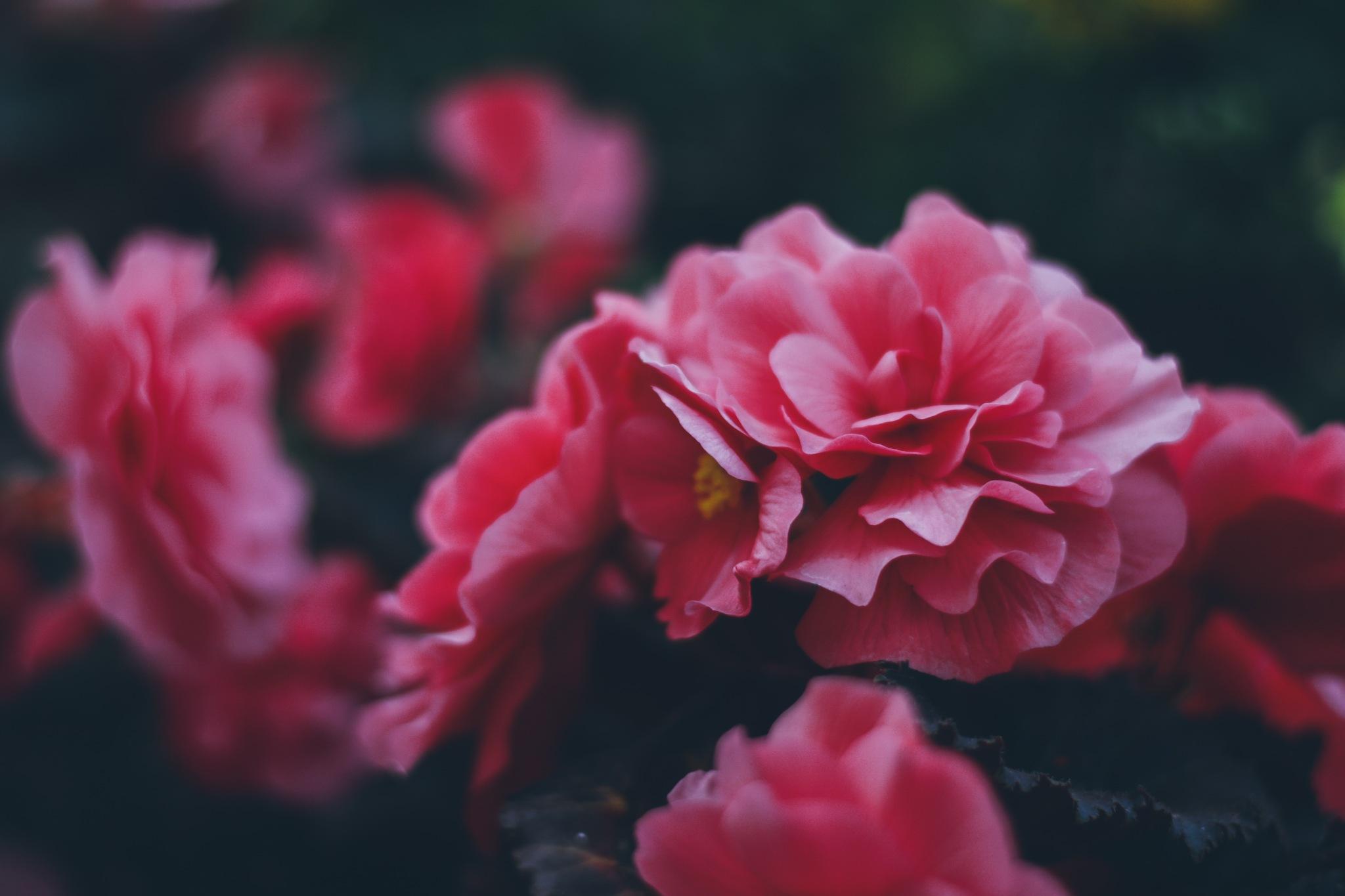 Pink Begonias by Livingsta