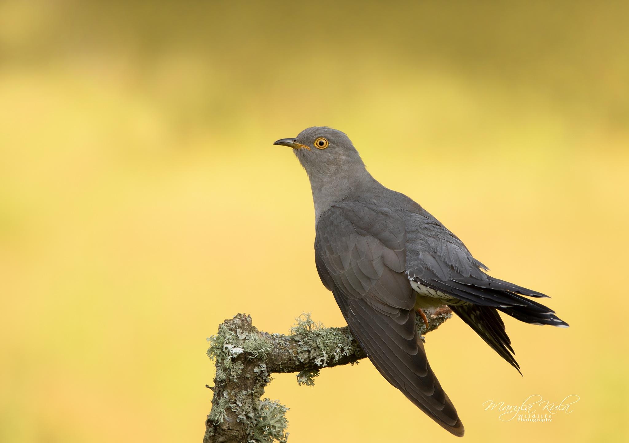 Cuckoo by Kulama