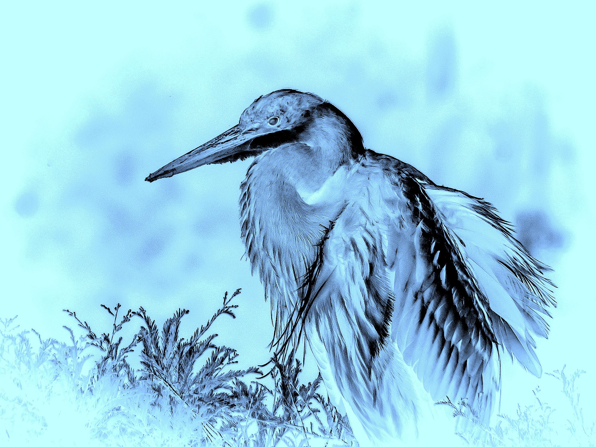 Great Blue Heron by Greg Towle