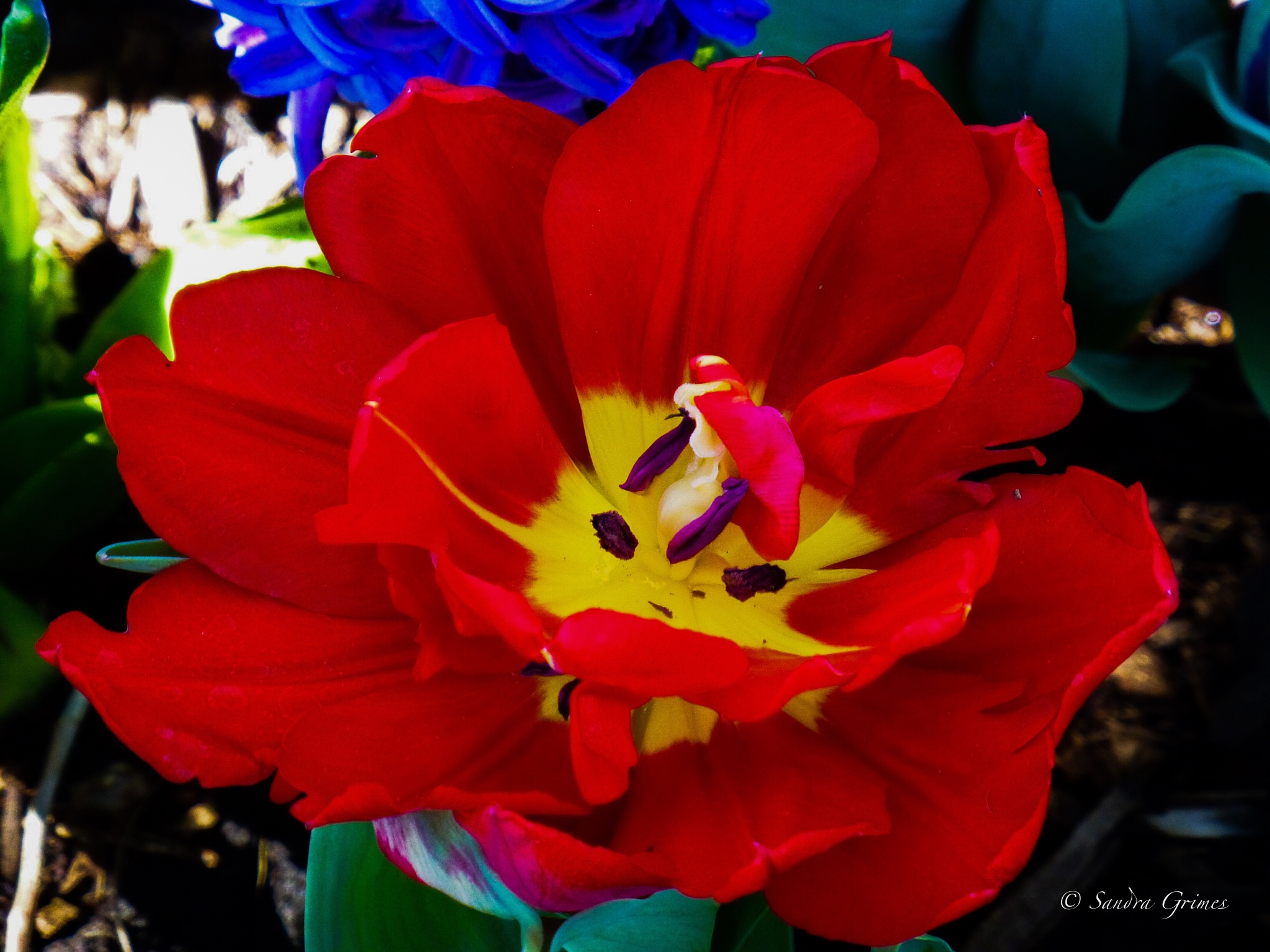 Abba Deep Red Tulip by TrixieGirl5192