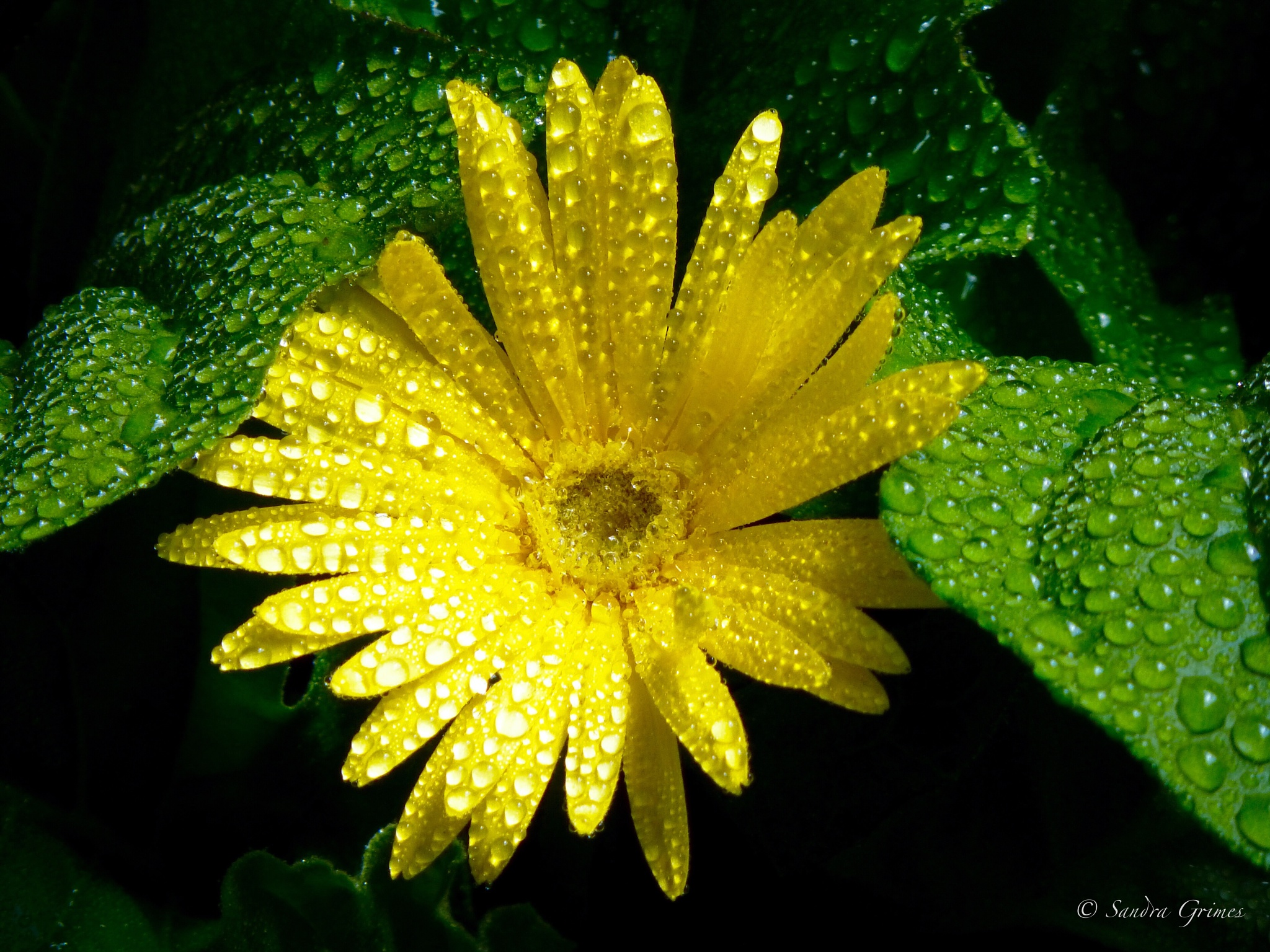 Raindrops on Yellow Daisies by TrixieGirl5192
