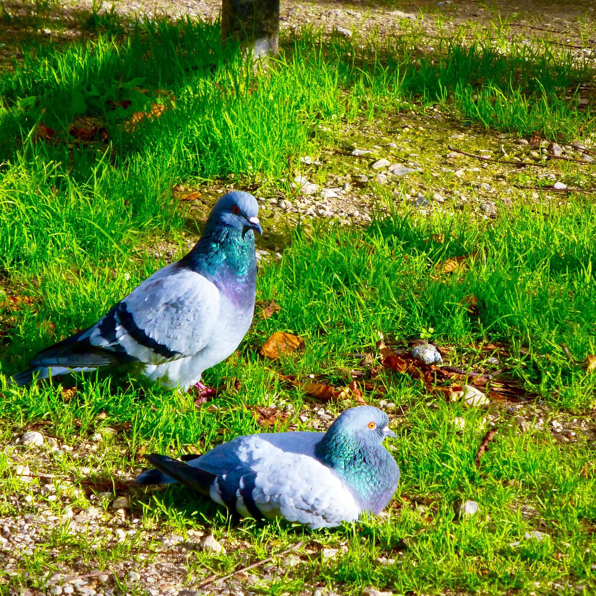 Parisian Pigeons by TrixieGirl5192