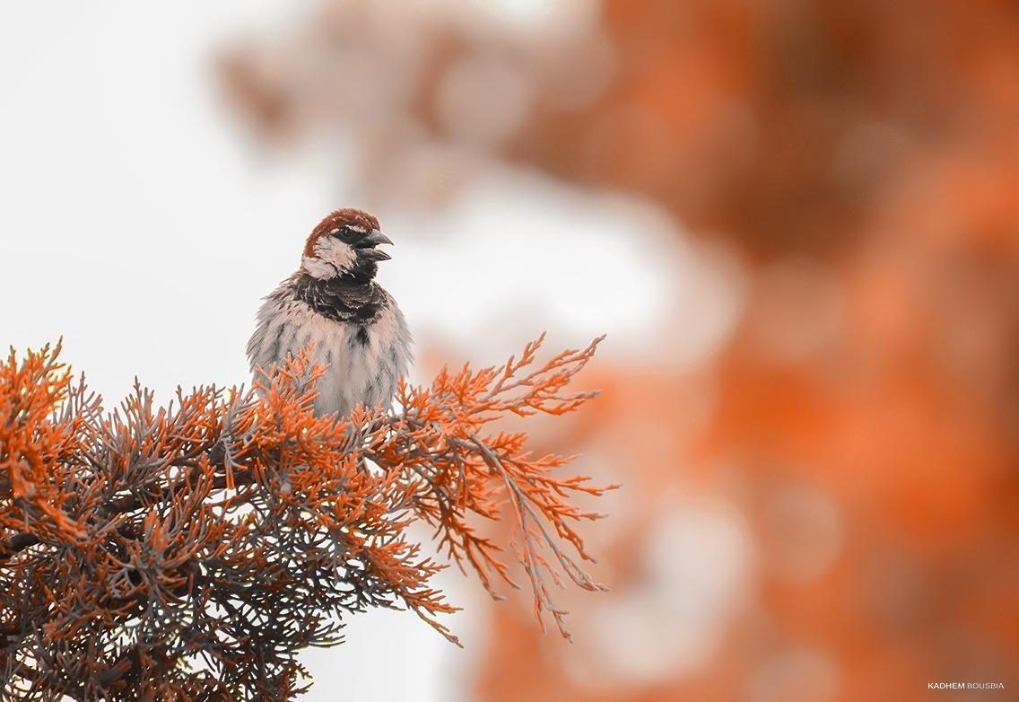 Angru bird  by kadhem bousbia