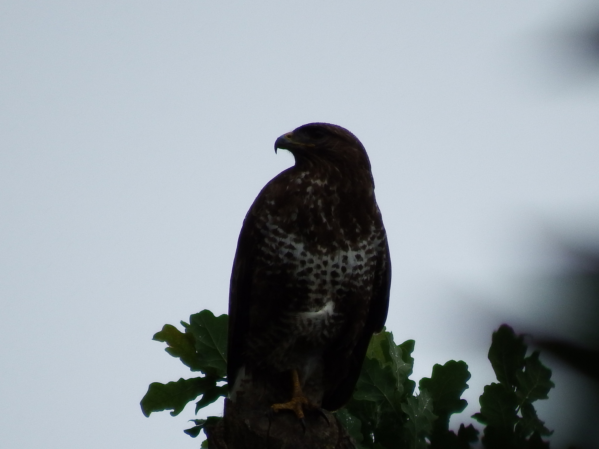 same buzzard different angle  by seannel