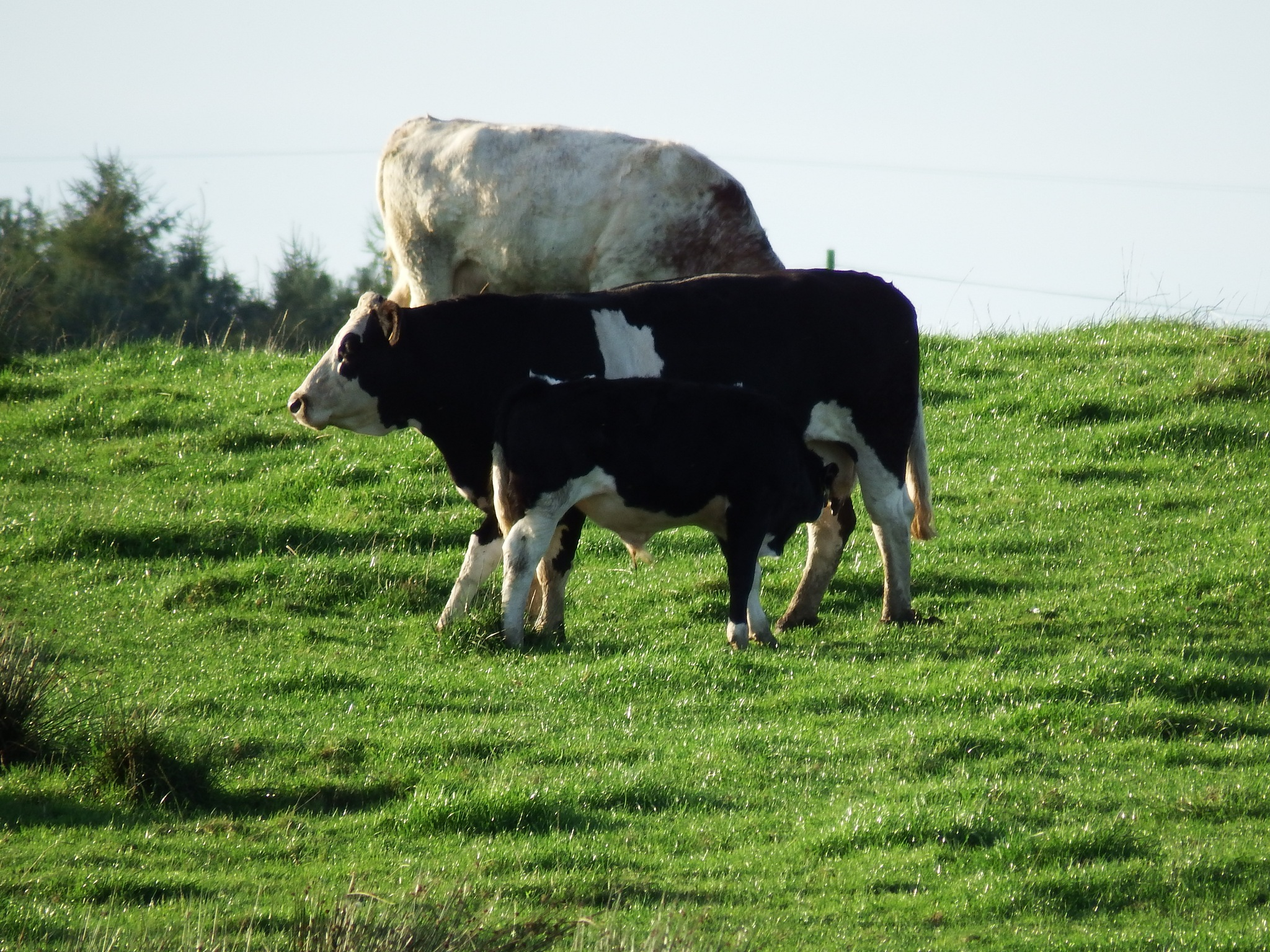 cow and calf by seannel