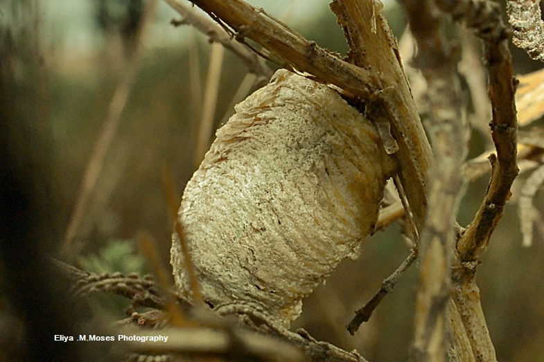 Mantis Cuckun  by ELIMYER