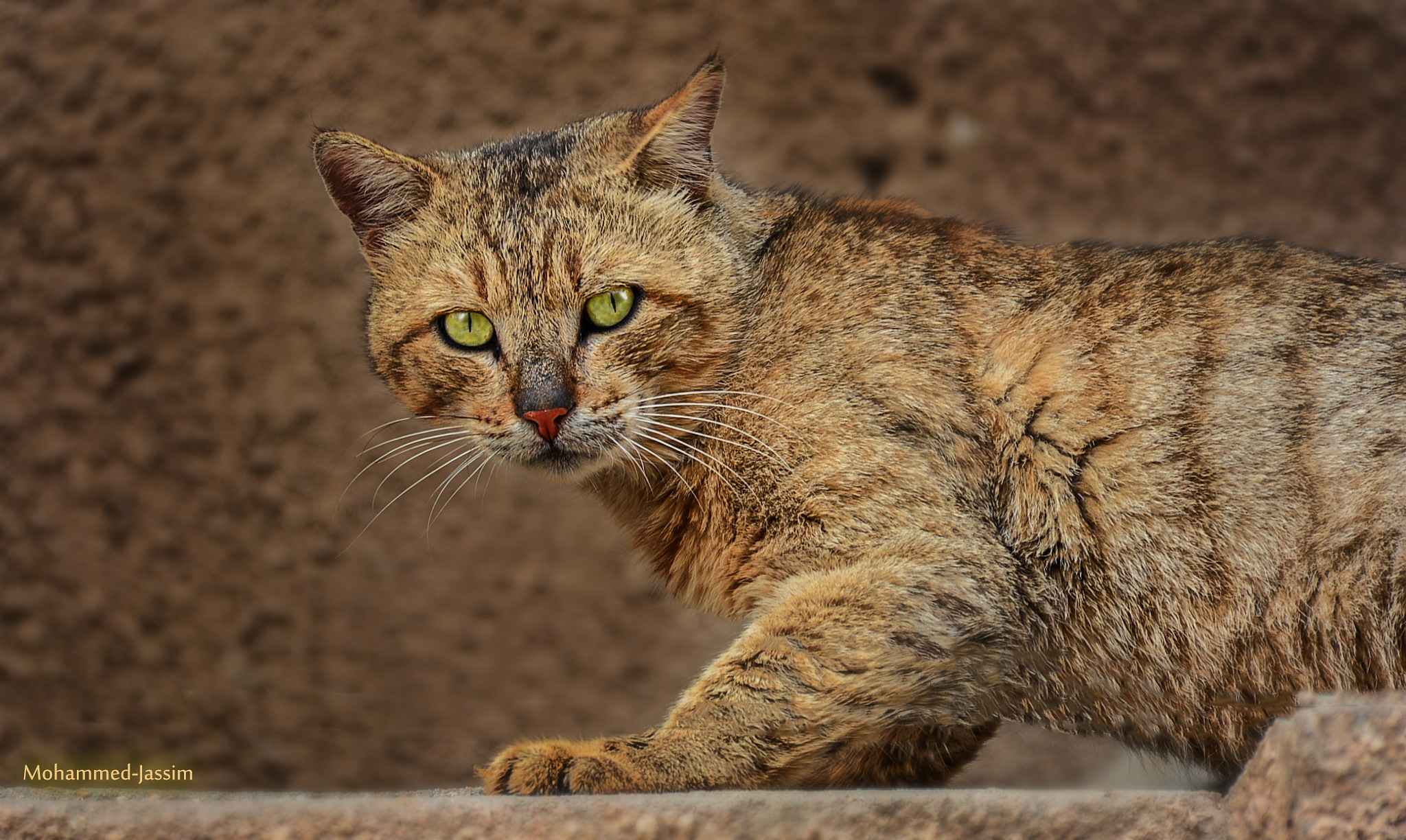 Cat by Mohammed Jassim