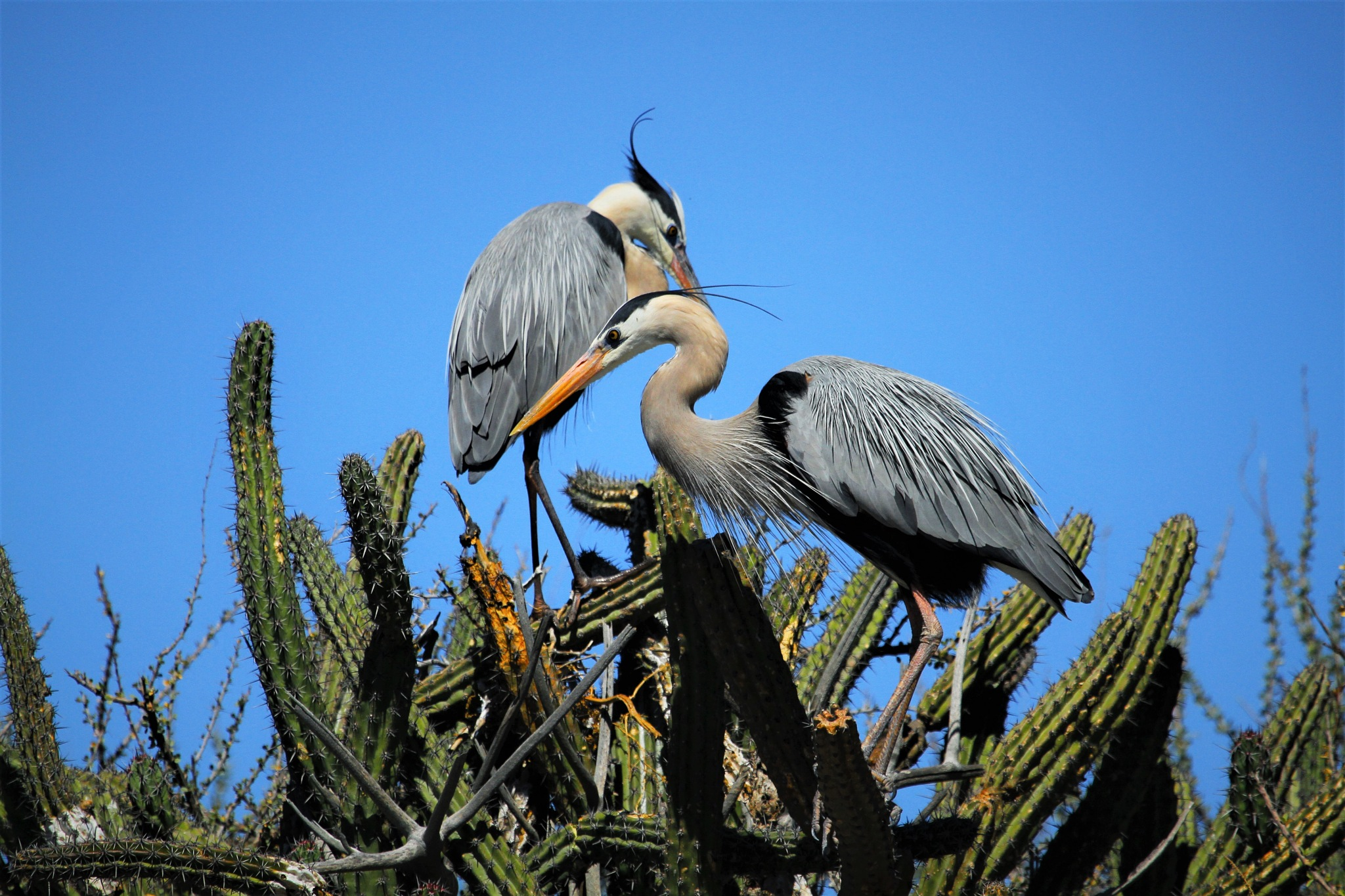 GREAT BLUE HERONS- by Miguel Angel Martinez