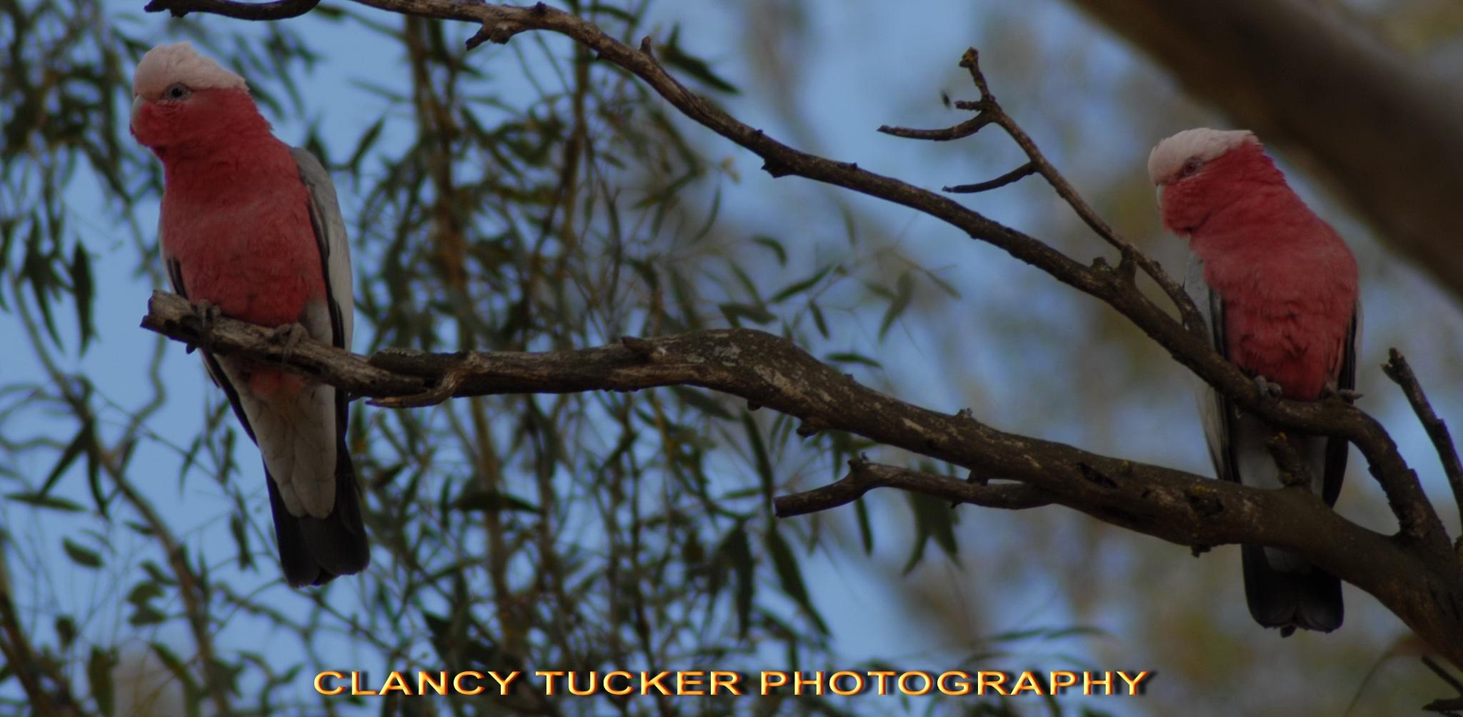 Photo in Nature #birds #australia #nature
