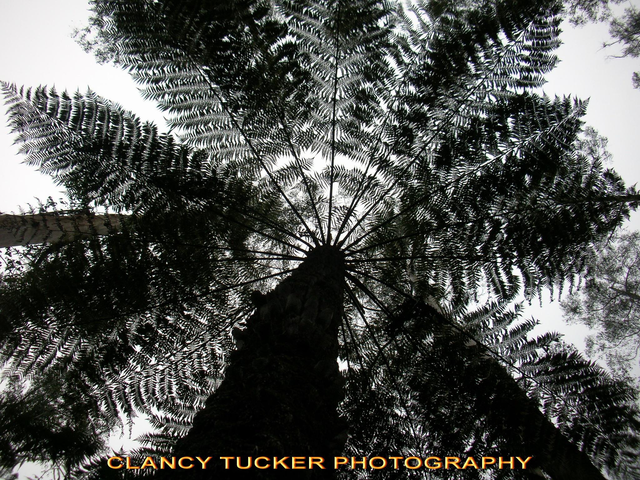 Tree fern by Clancy Tucker