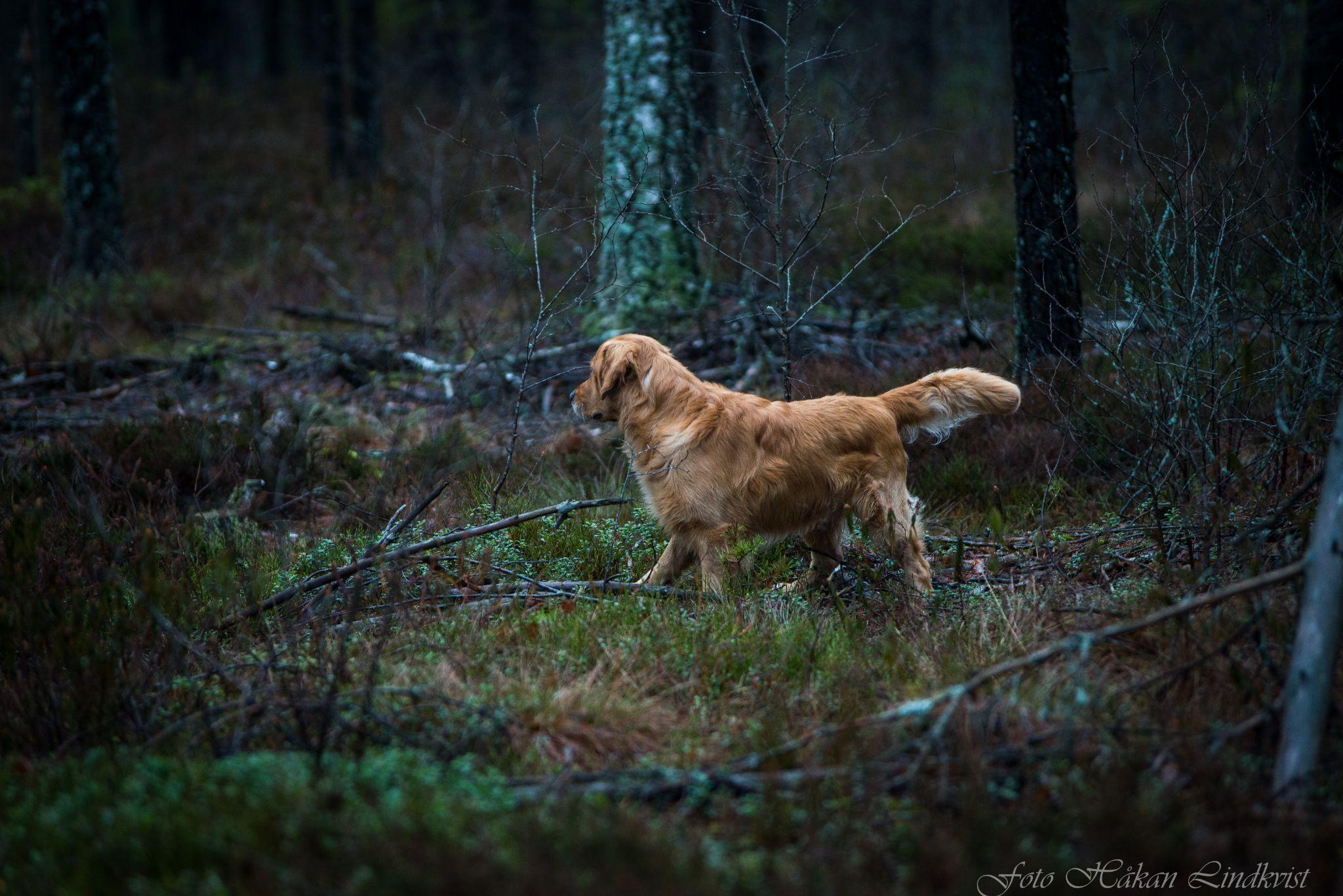 Nico by Håkan Lindkvist