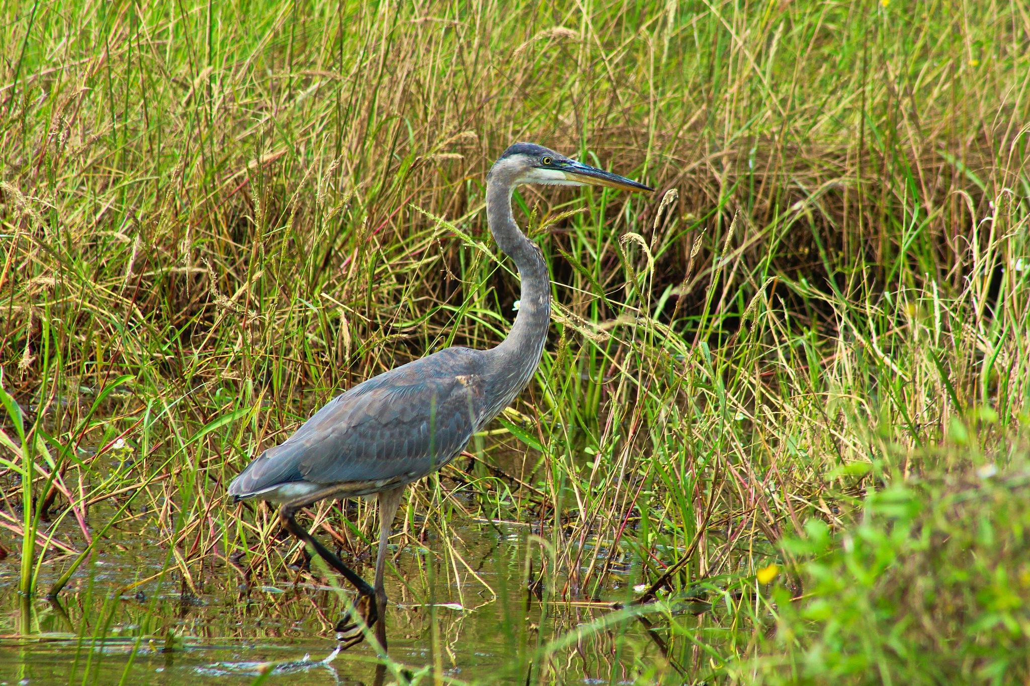 Great Blue Heron by TW_Mason
