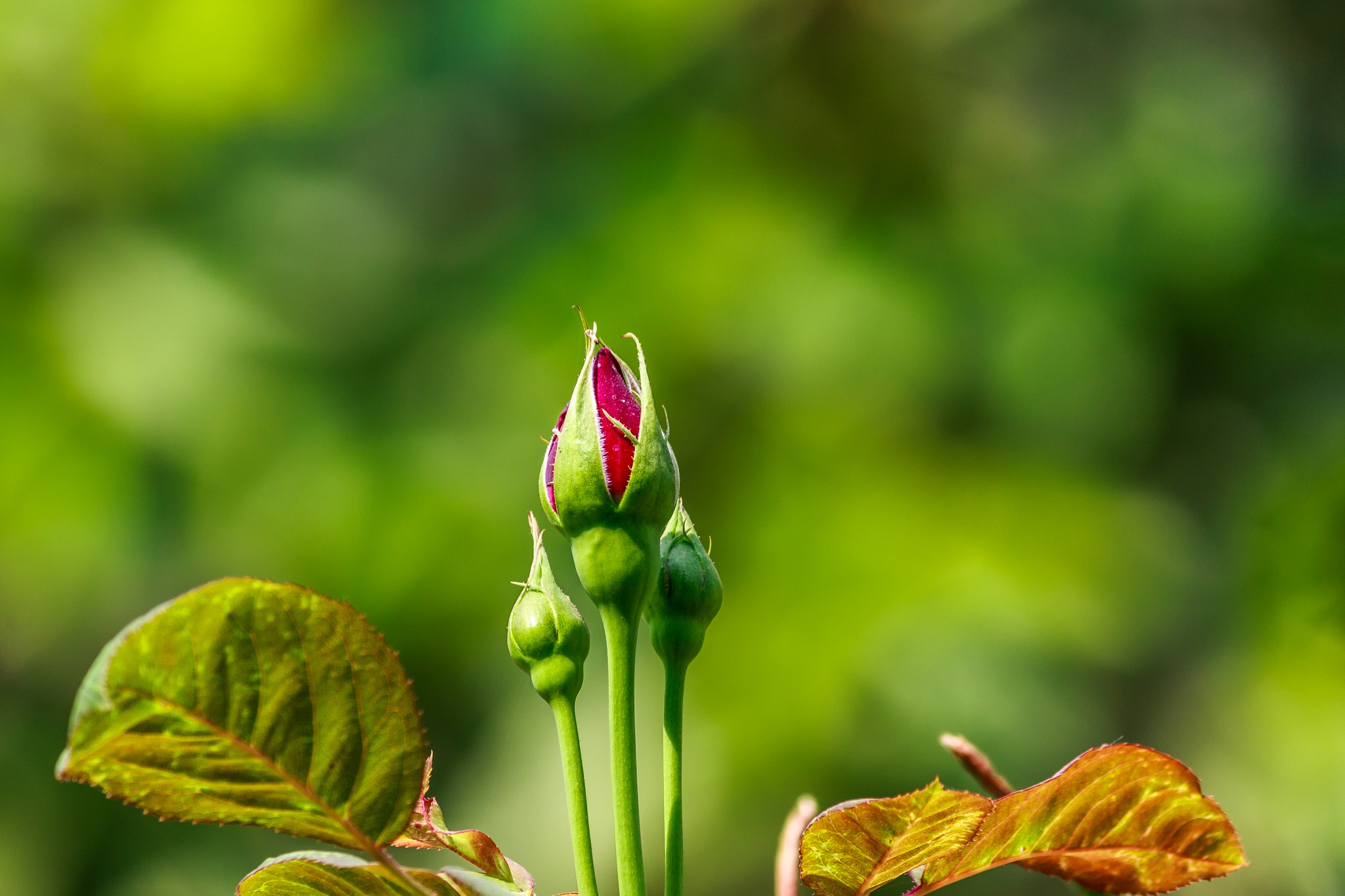 Photo in Nature #rose bud #rose #rose flower #red rose #garden