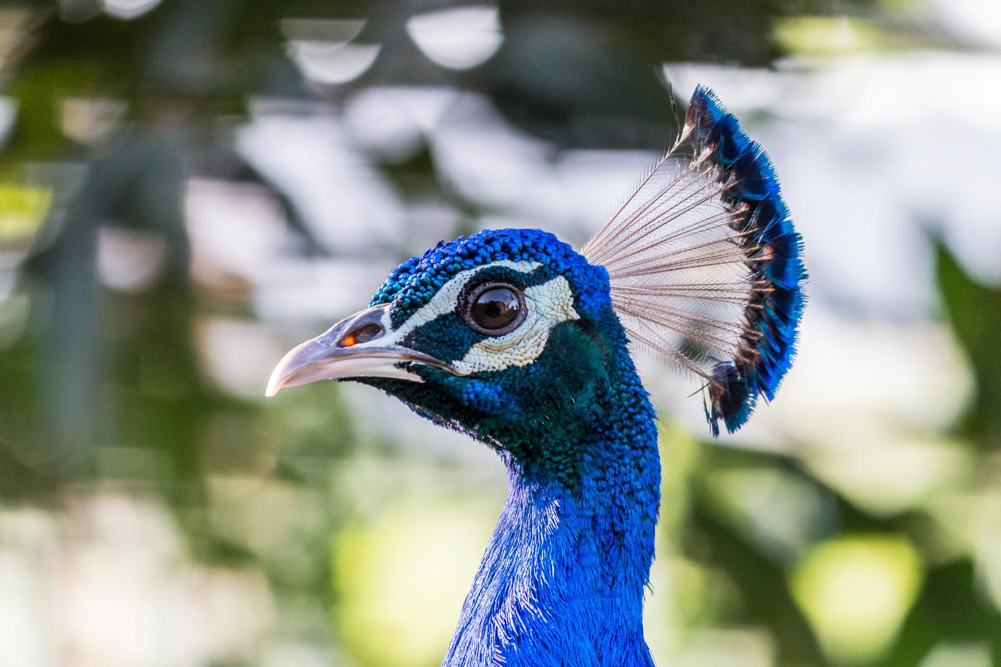 Indian peafowl (Indian Peacock male) by Brijesh meena