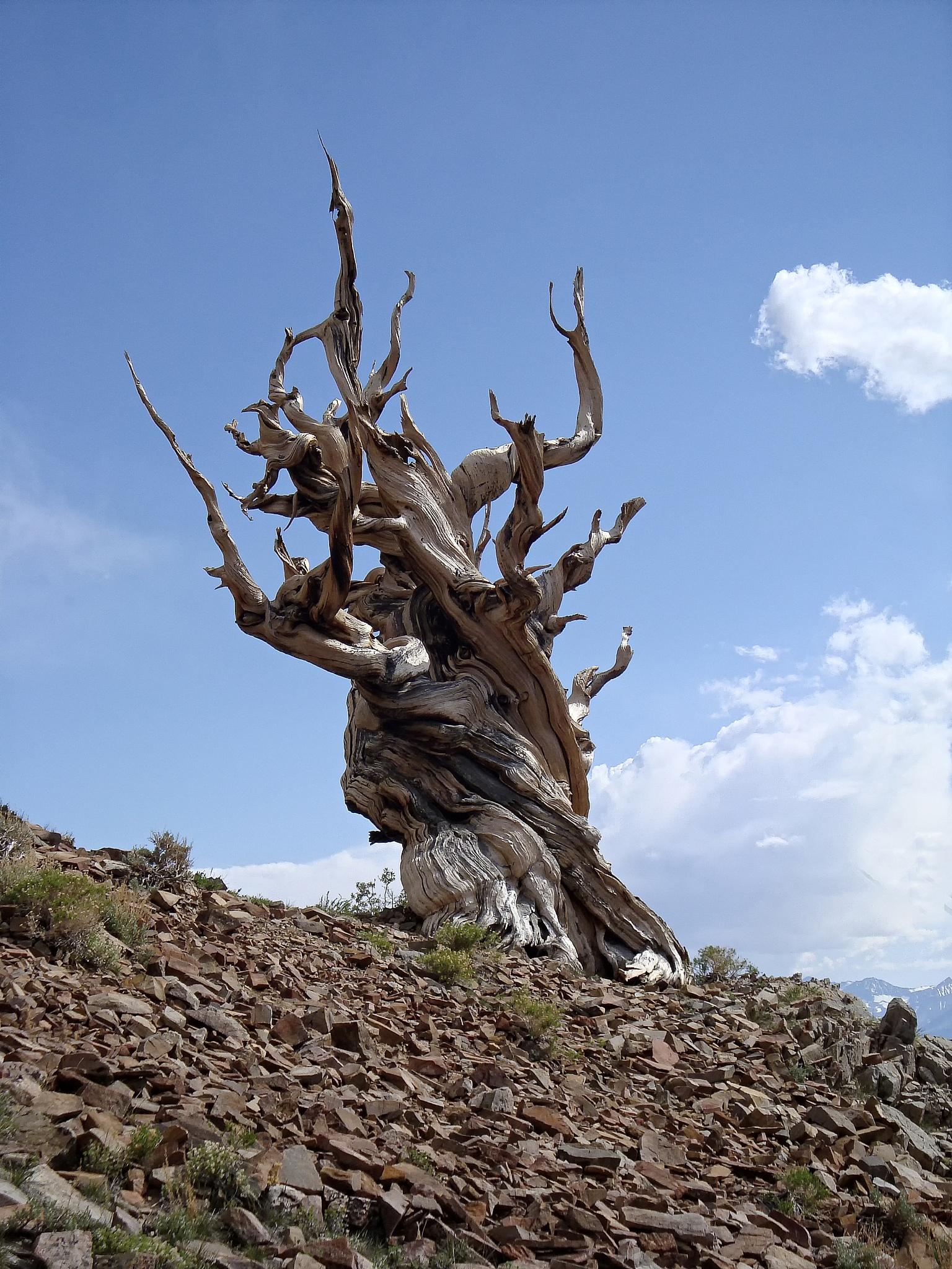 Bristlecone Pine Tree, White Mts. by Sharon Thompson