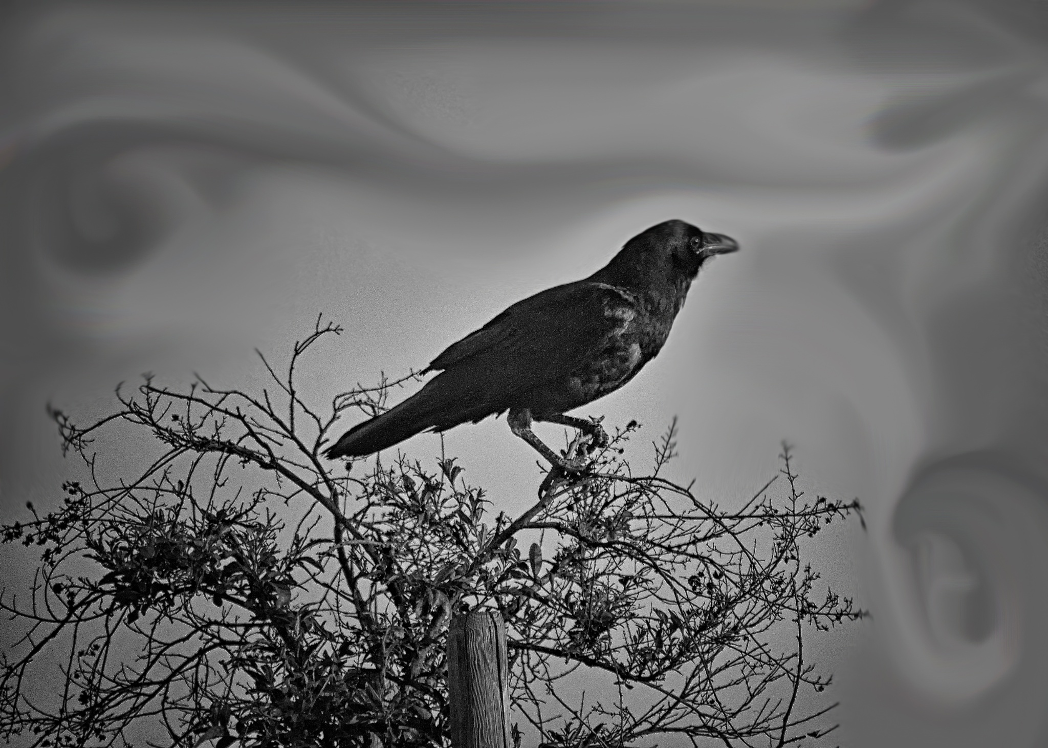 Photo in Animal #raven #conjuring #magic