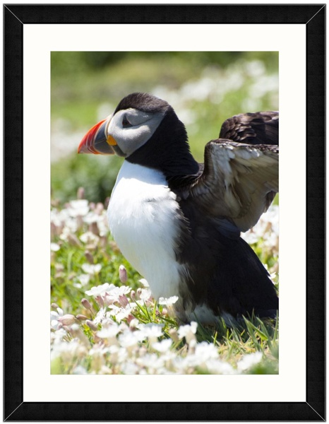 Common Puffin by Best Photo Posters - Bob & Diana Davey