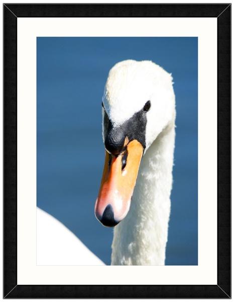 Swan Portrait by Best Photo Posters - Bob & Diana Davey