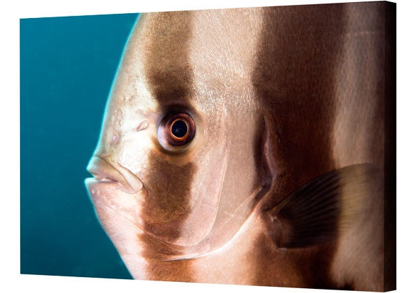 Photo in Underwater #batfish #pictures #underwater macro #underwater photography #spadefish