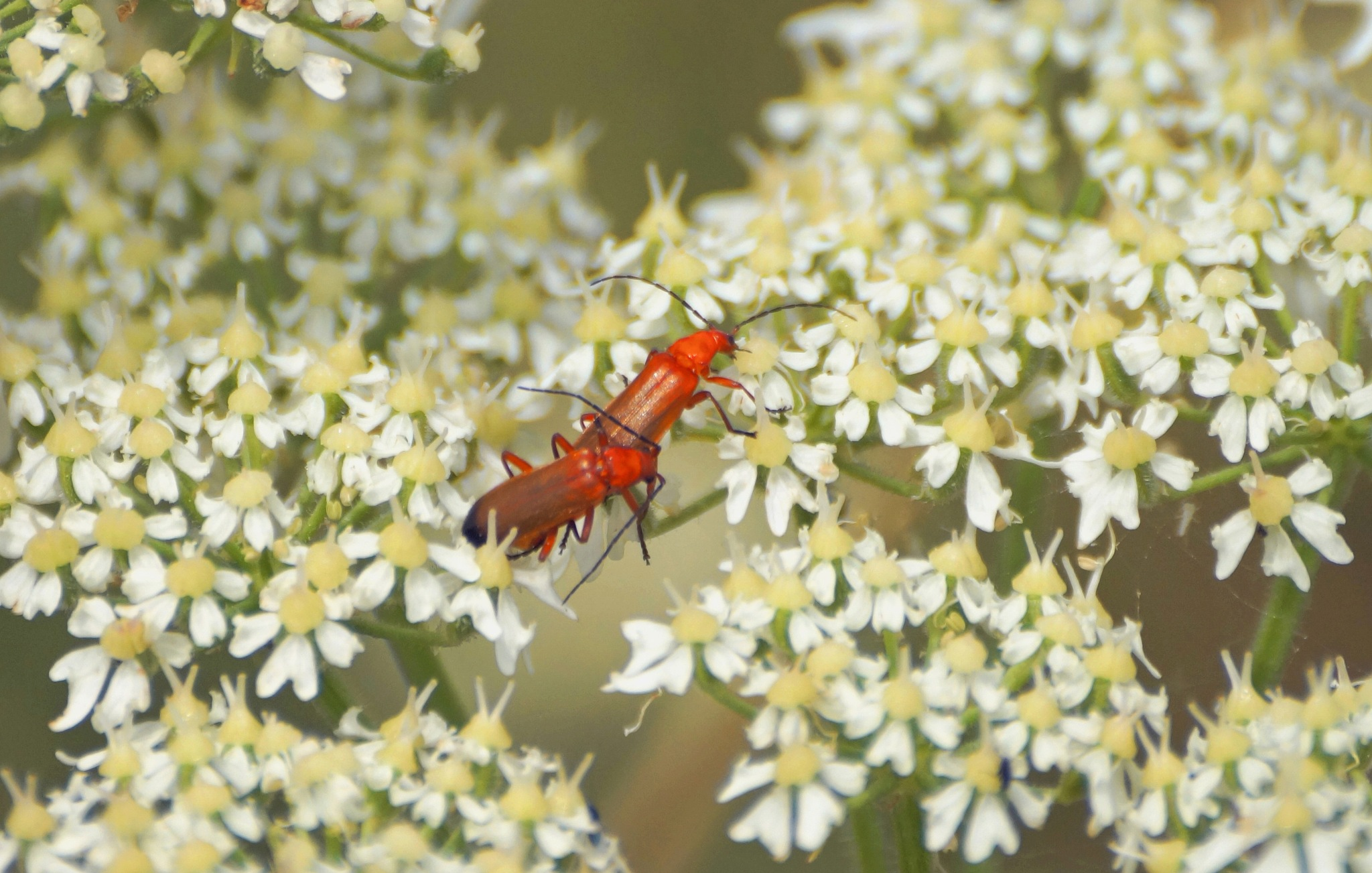 Common Red Soldier Beetles by Marian Baay
