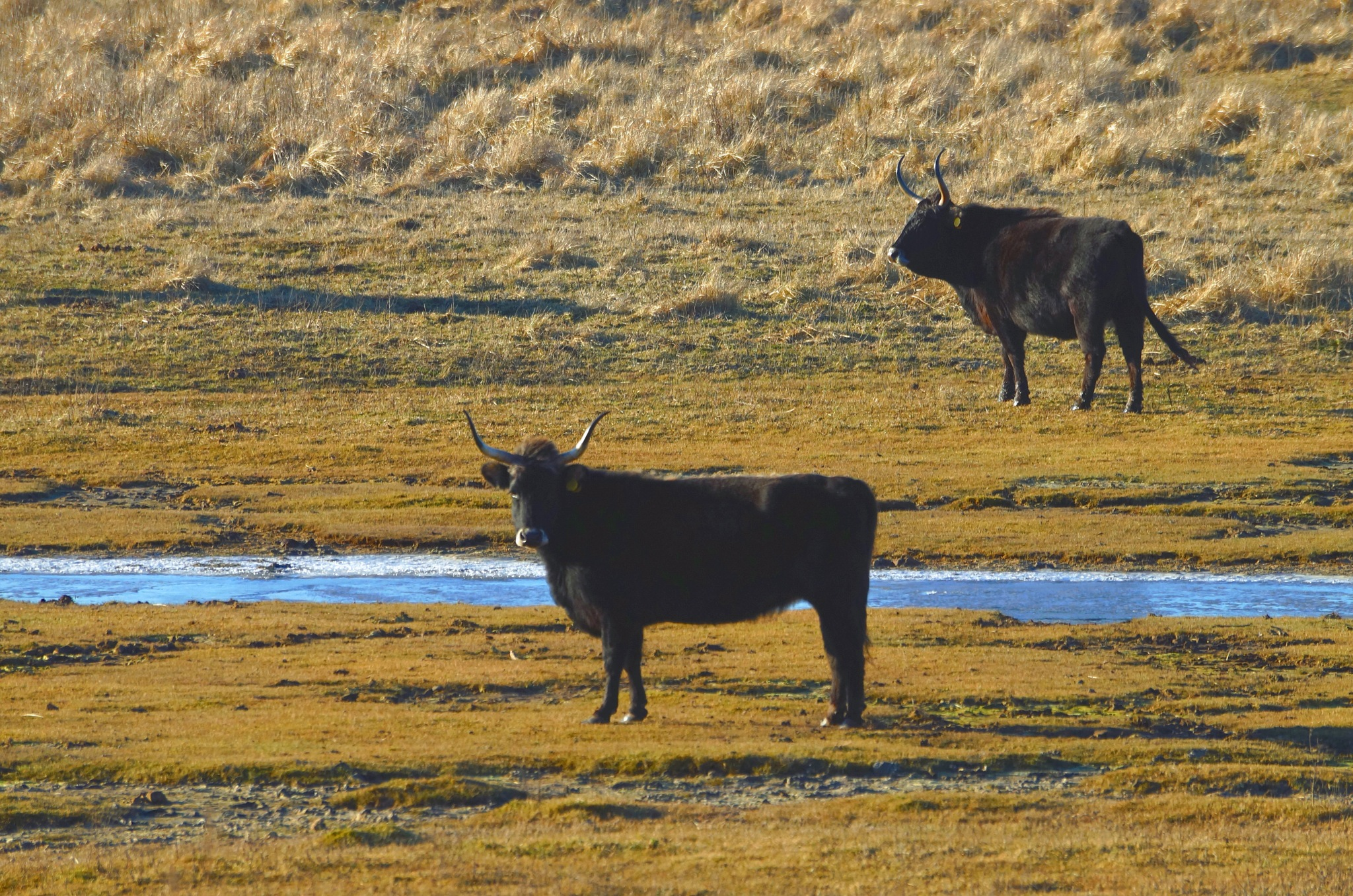 Heck Cattle at Cold Winter Morning by Marian Baay