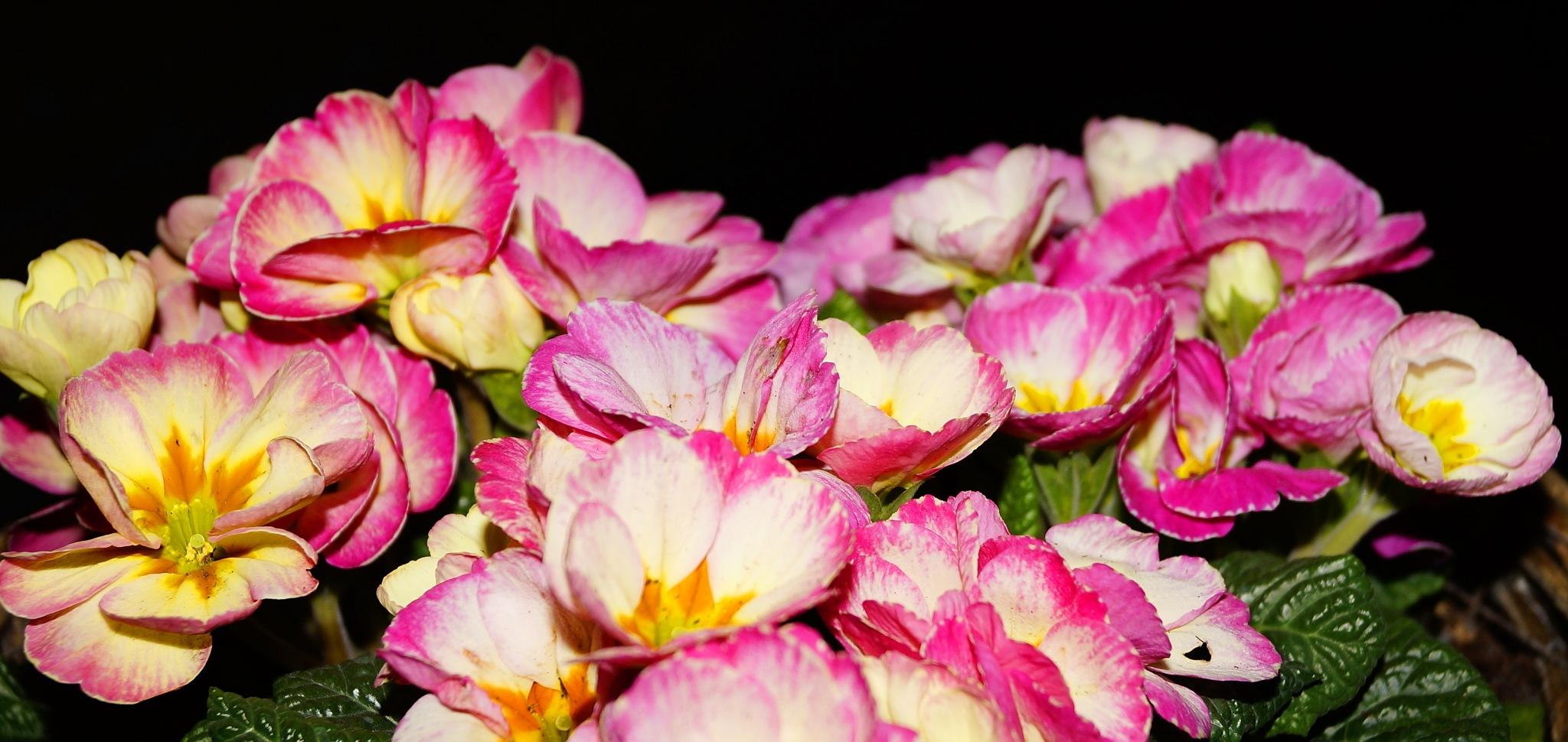 Primula by Marian Baay