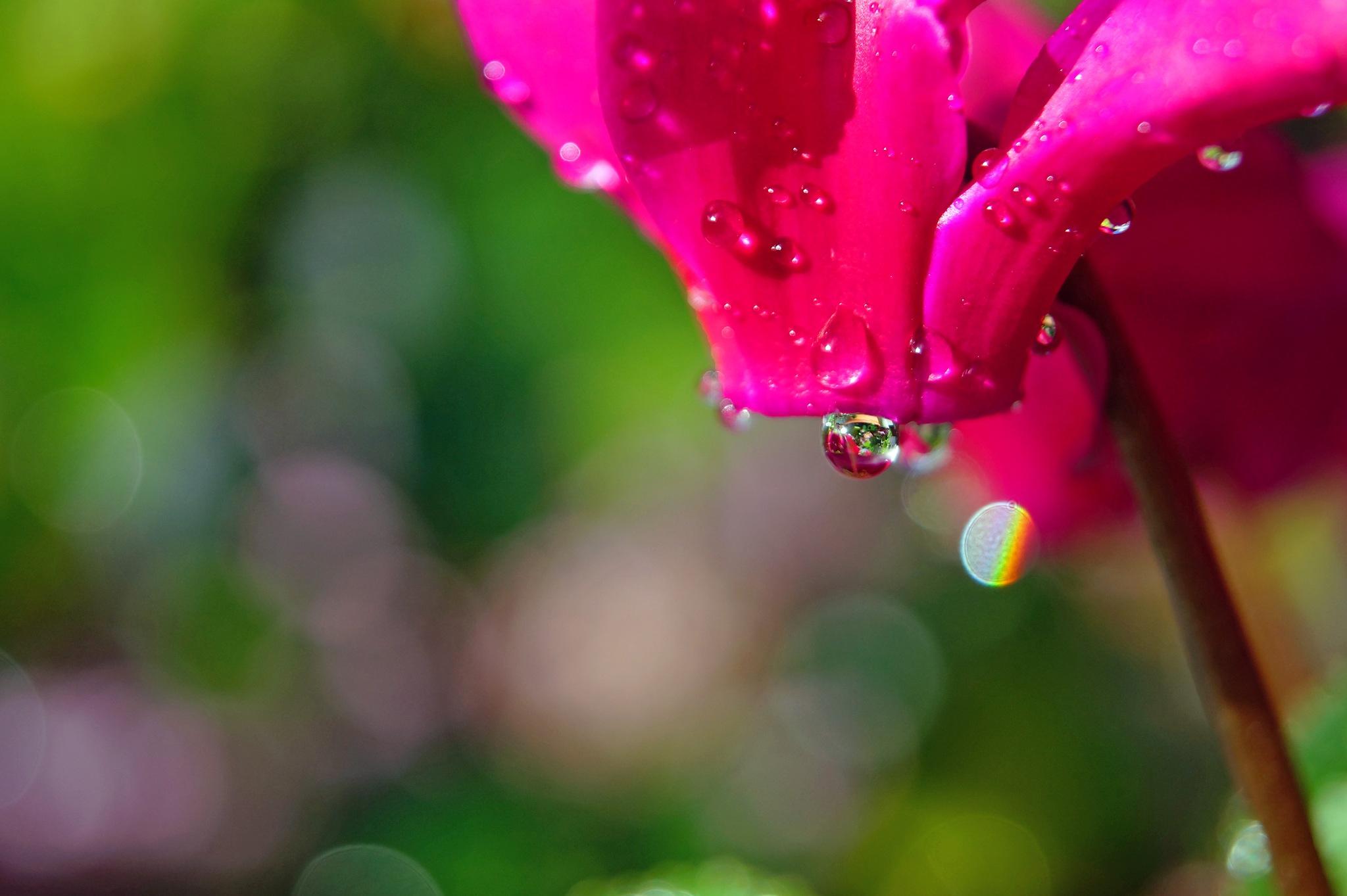 Cyclamen in the Rain by Marian Baay