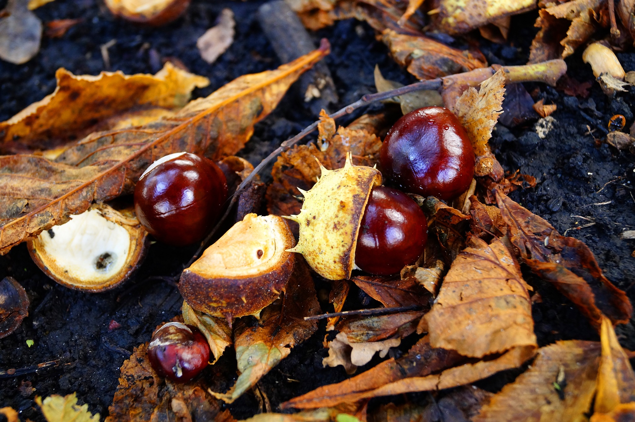 Horse Chestnuts by Marian Baay