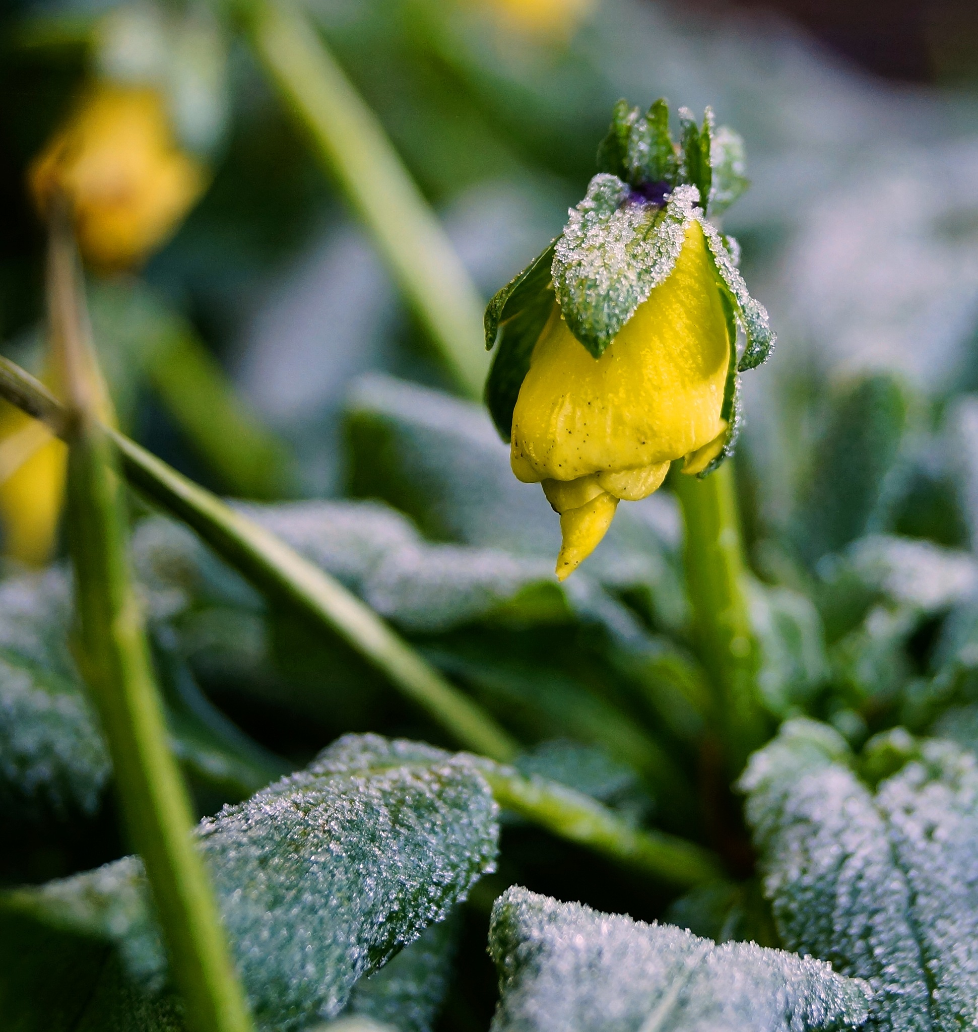 Frozen Pansy Bud by Marian Baay