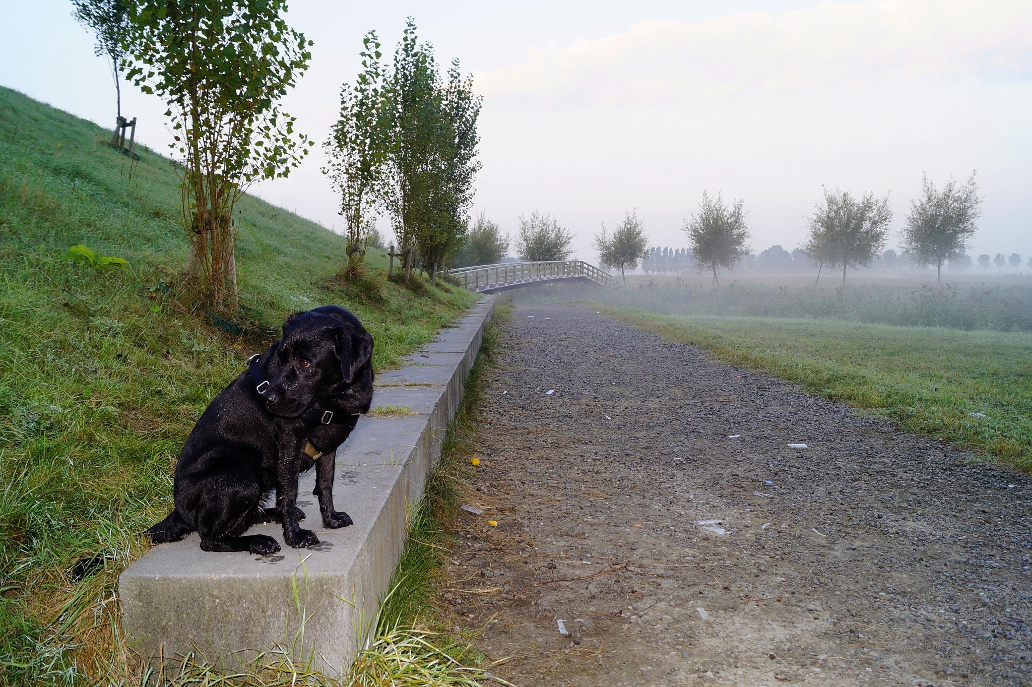 Lab Bob in the Mist by Marian Baay