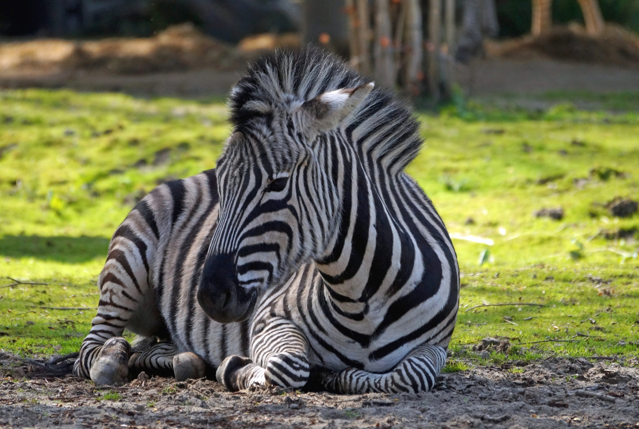 Zebra by Marian Baay