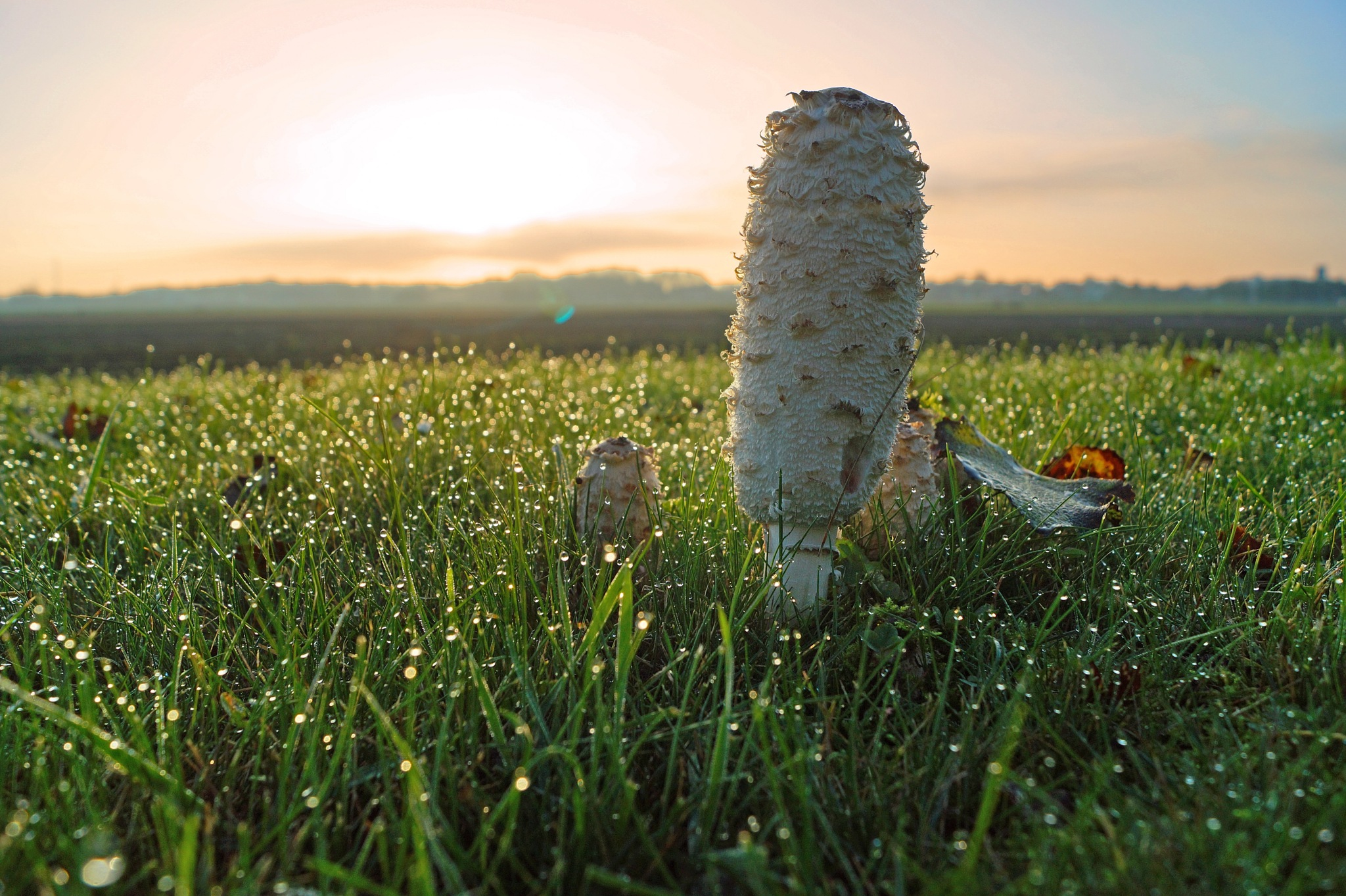 Coprinus at Sunrise by Marian Baay