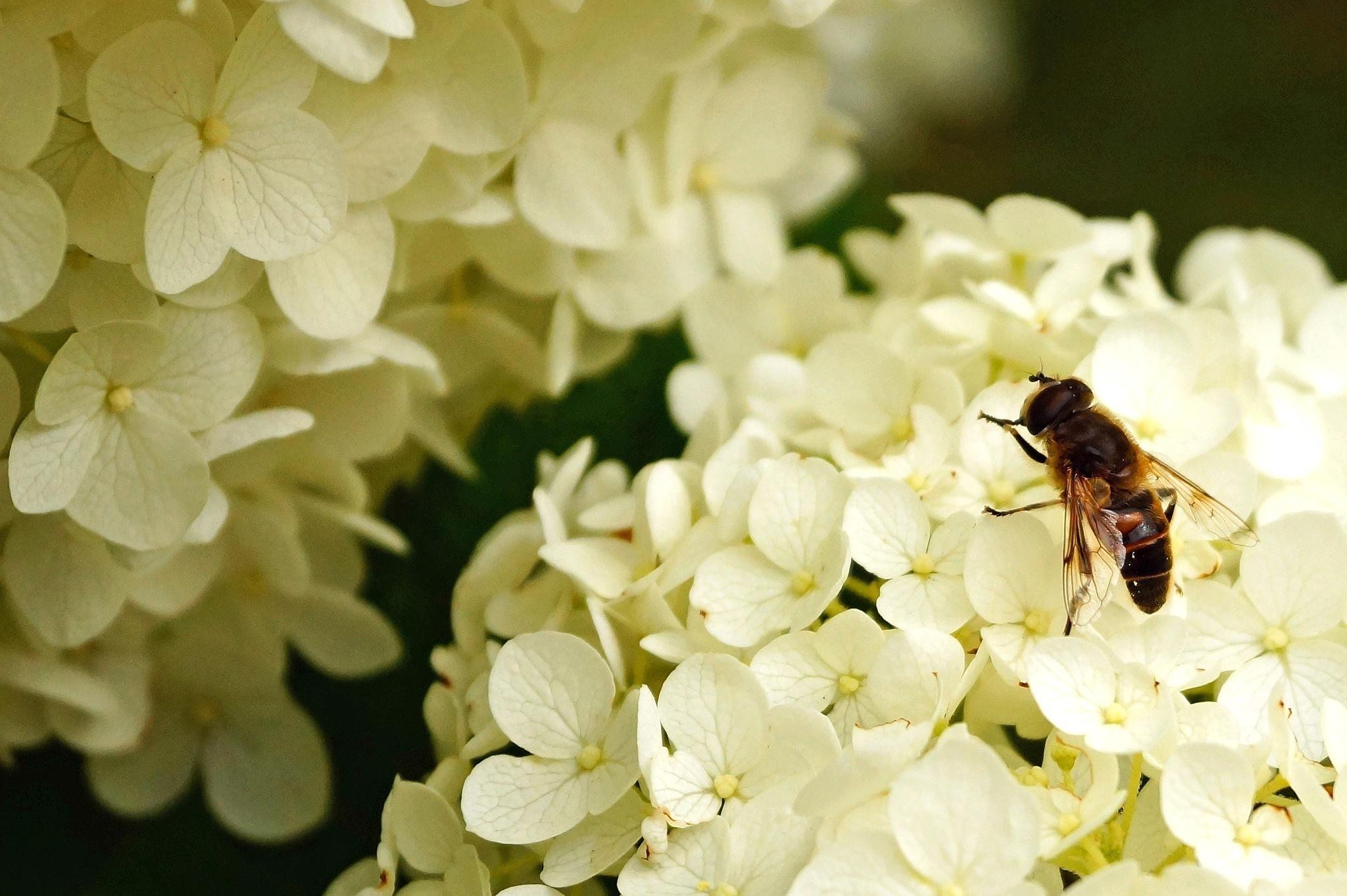 Bee on Hydrangea by Marian Baay