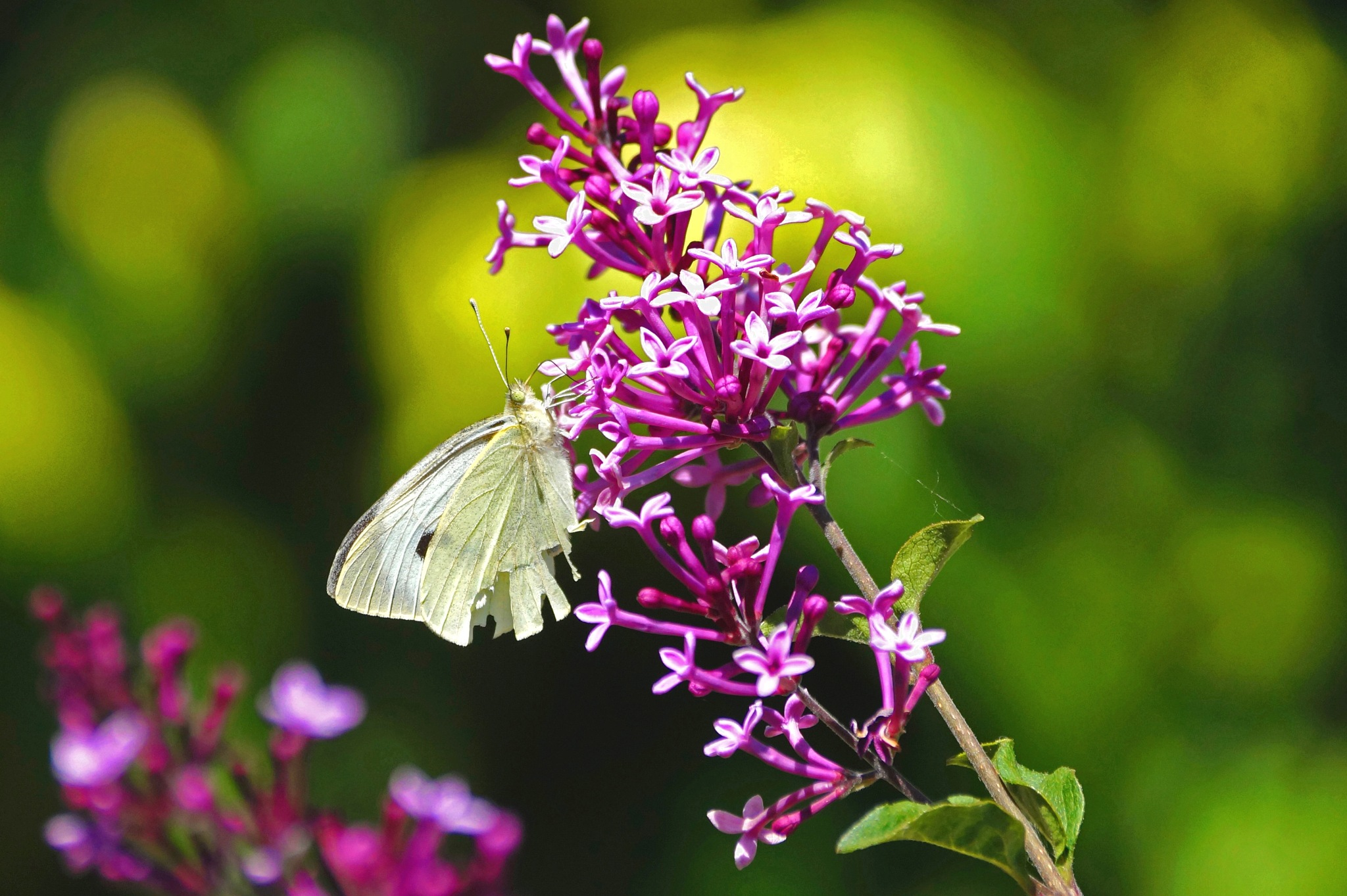 Butterfly on Lilac by Marian Baay