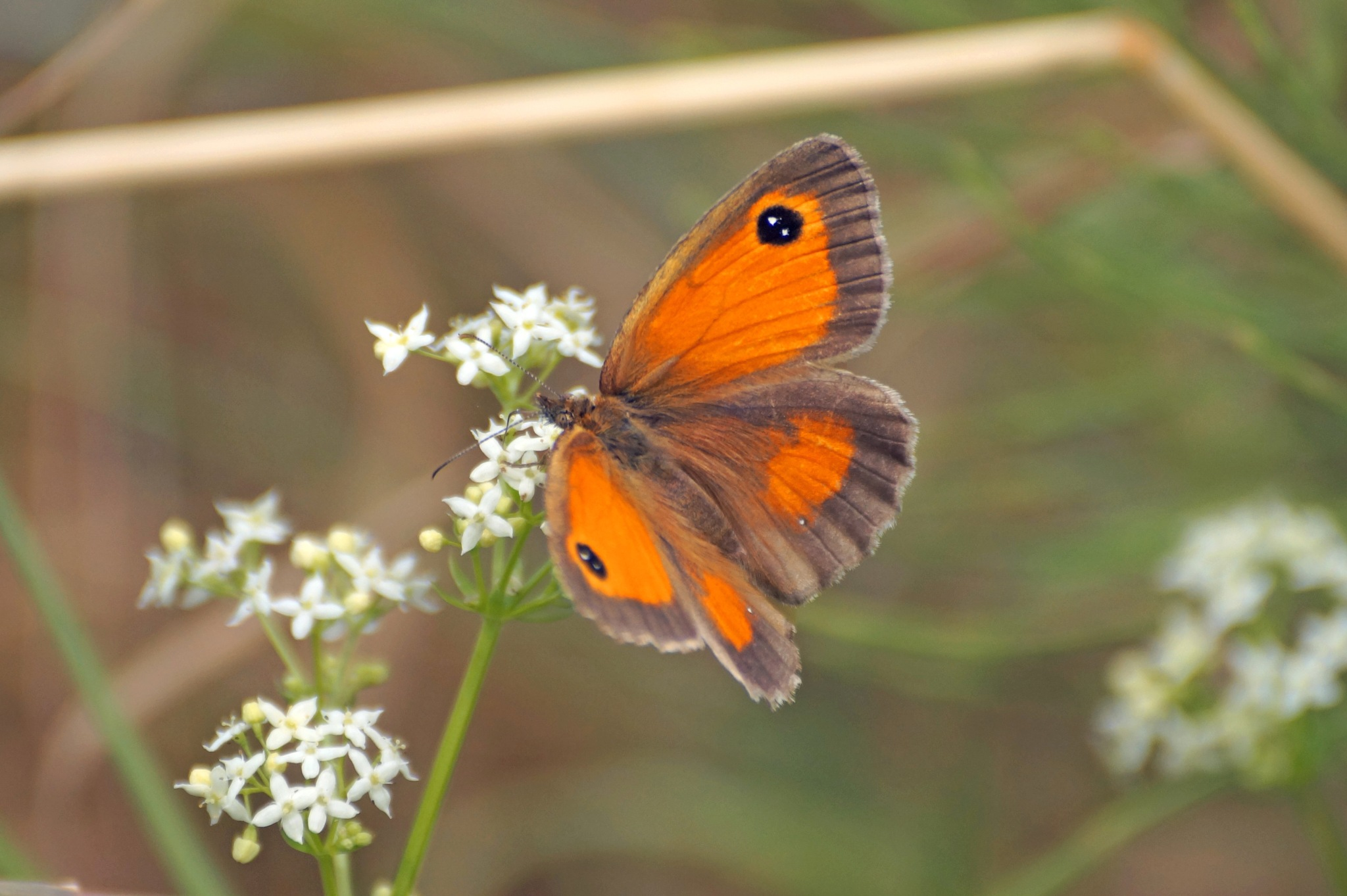 Butterfly by Marian Baay