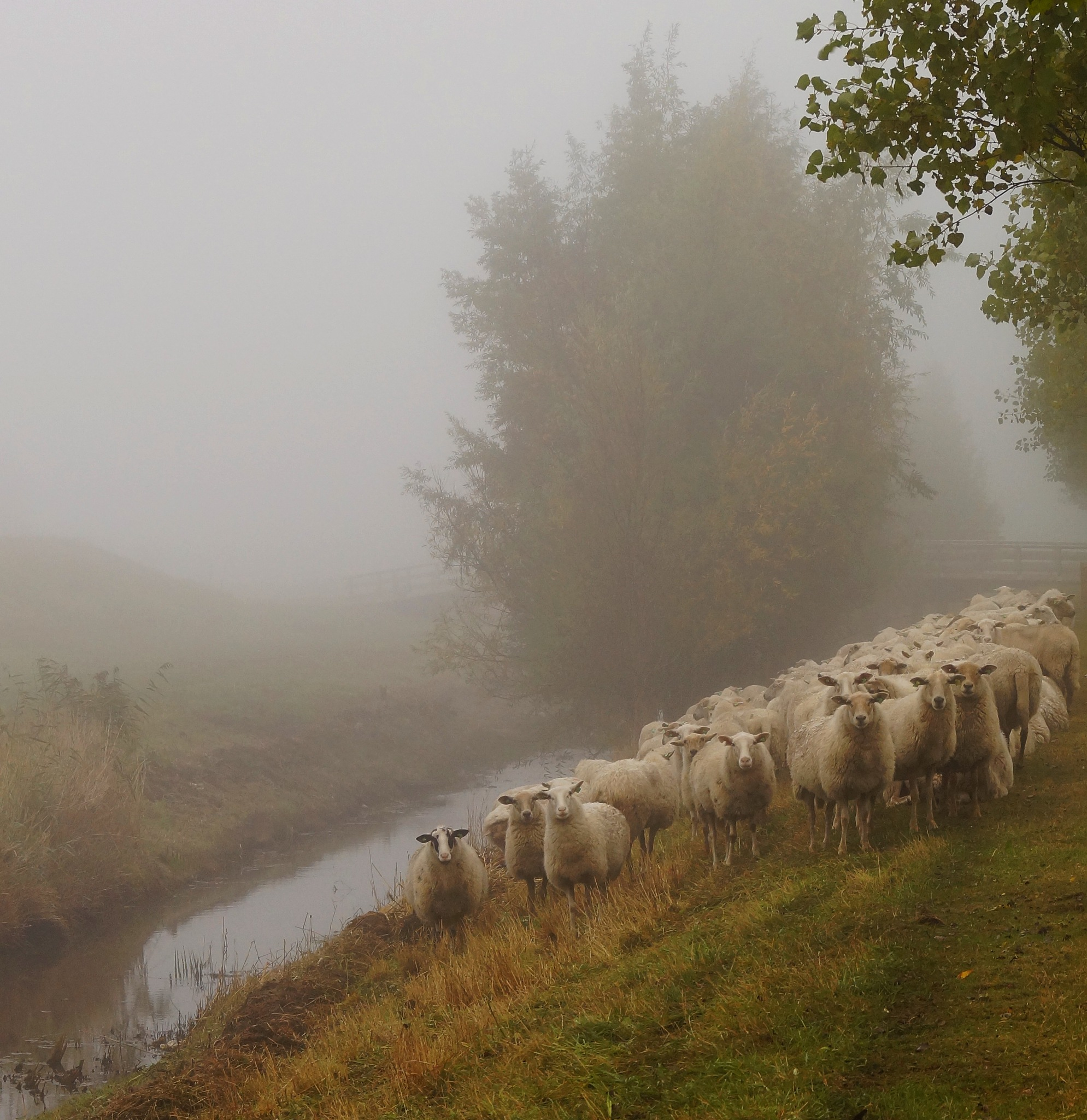 Sheep in the Mist by Marian Baay