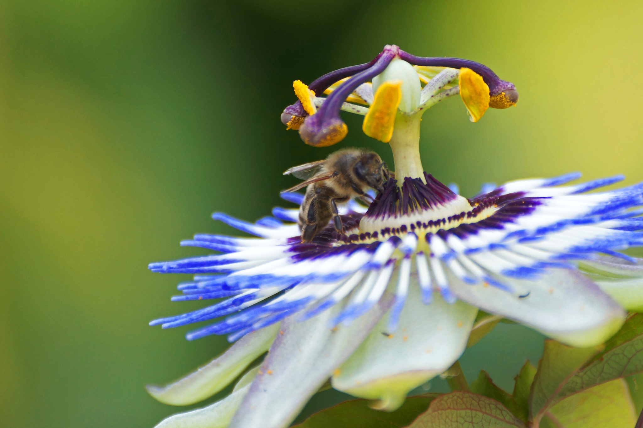 Bee on Passion Flower by Marian Baay