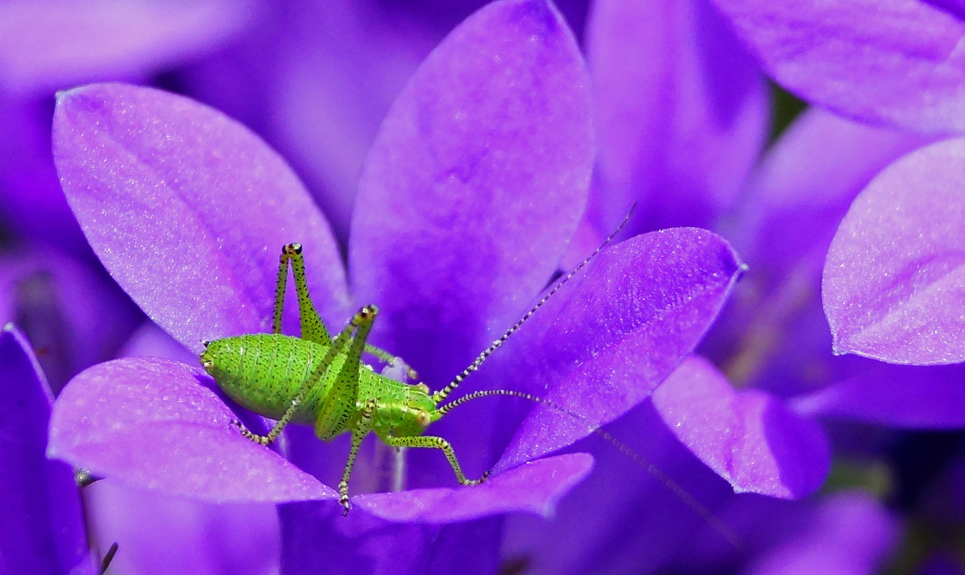 Speckled Bush-Cricket by Marian Baay