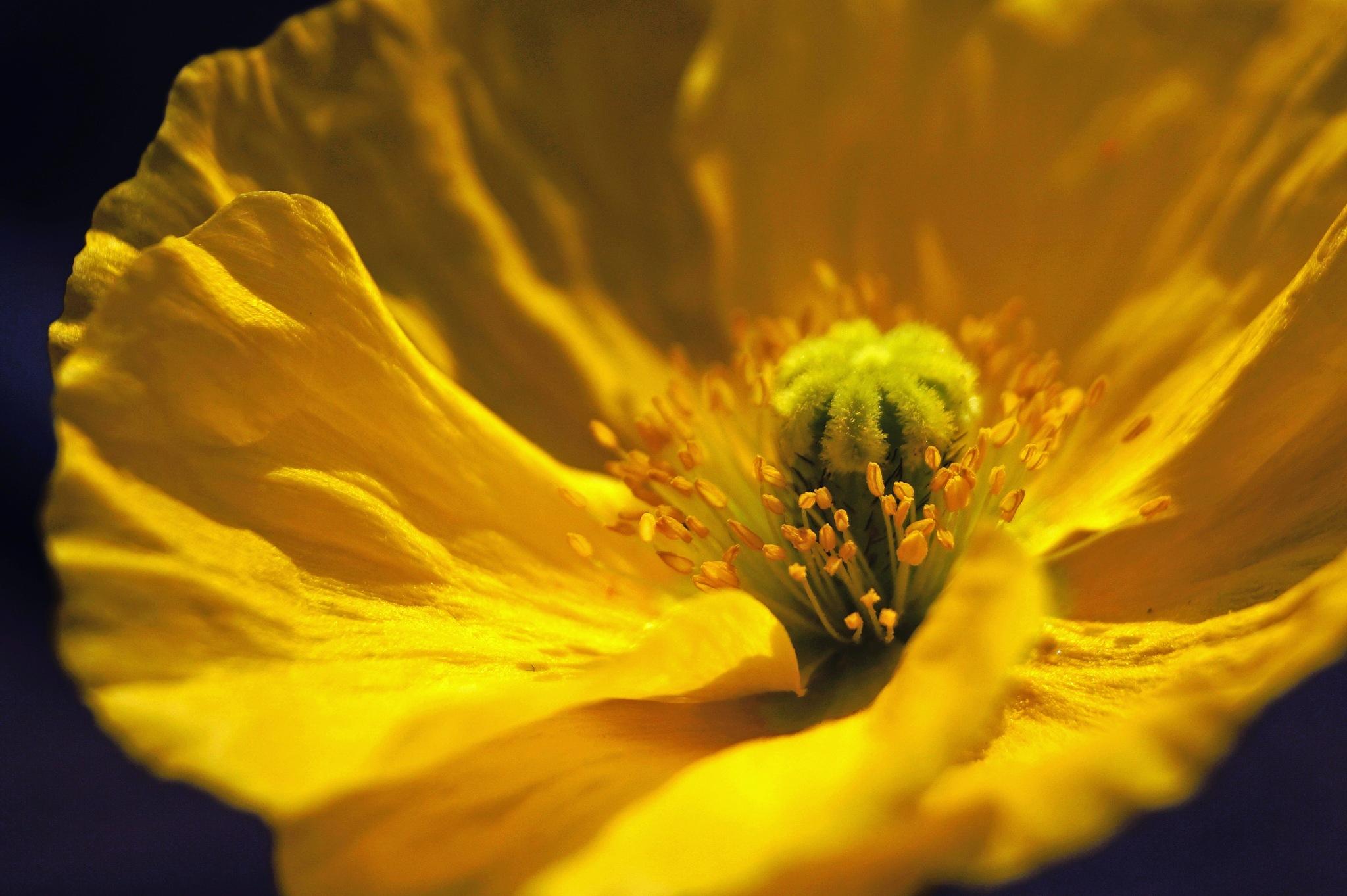 Yellow Poppy by Marian Baay