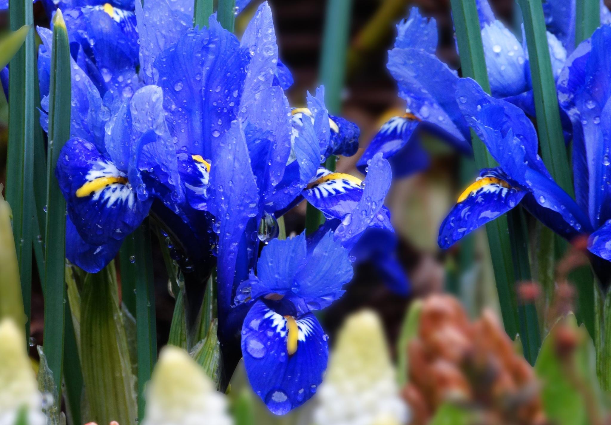 Iris in the Rain by Marian Baay