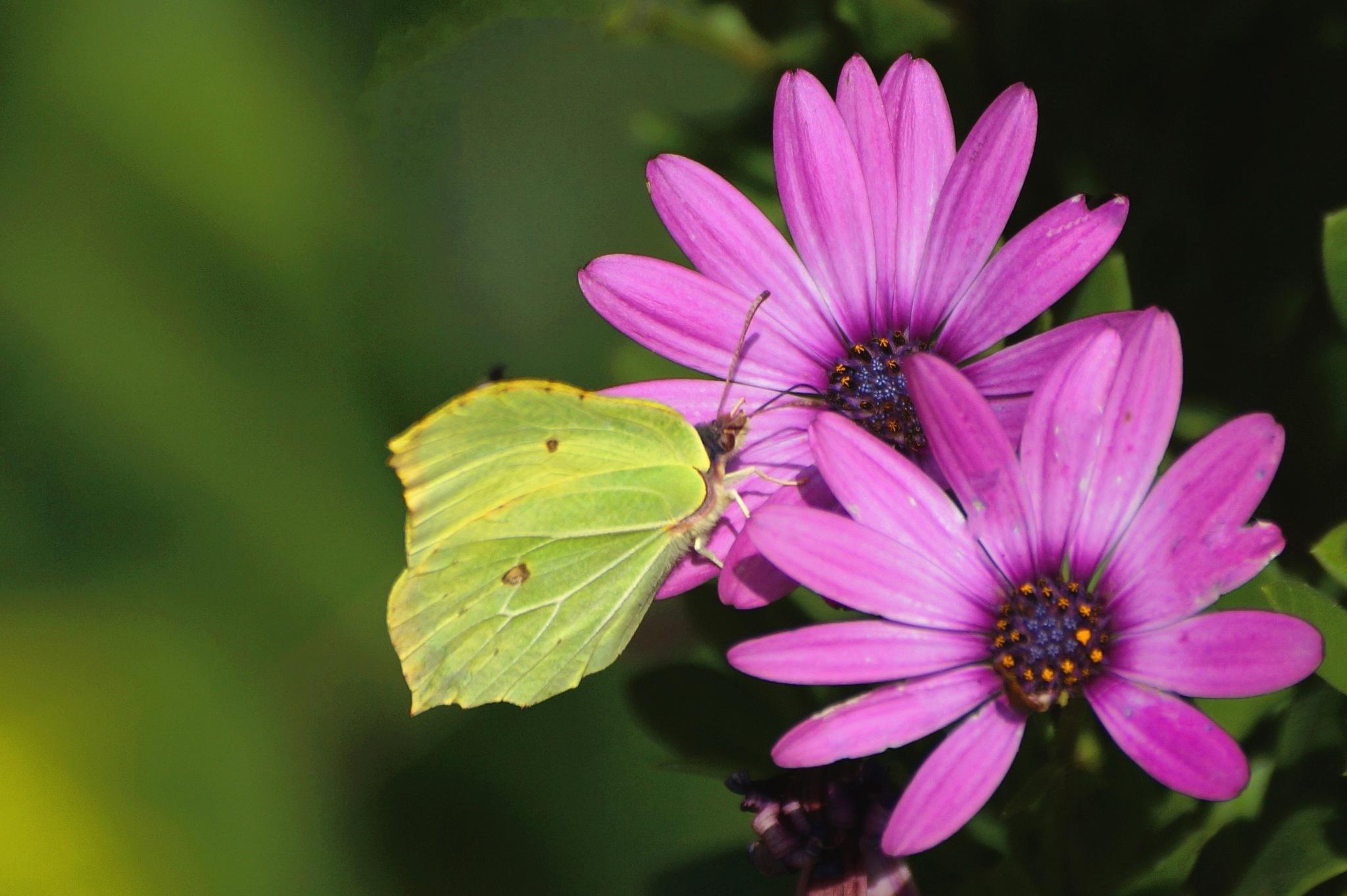 Butterfly on Daisy by Marian Baay
