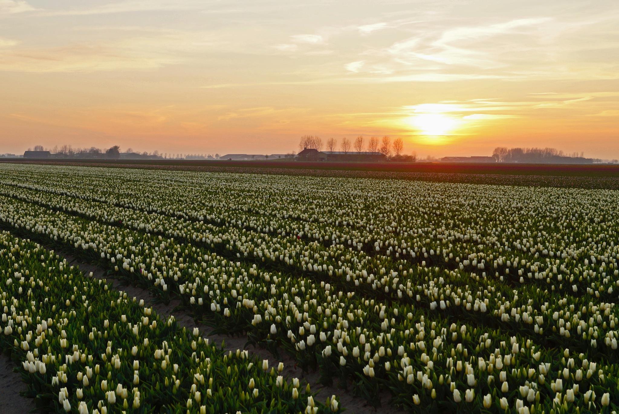 White Tulip Field by Marian Baay