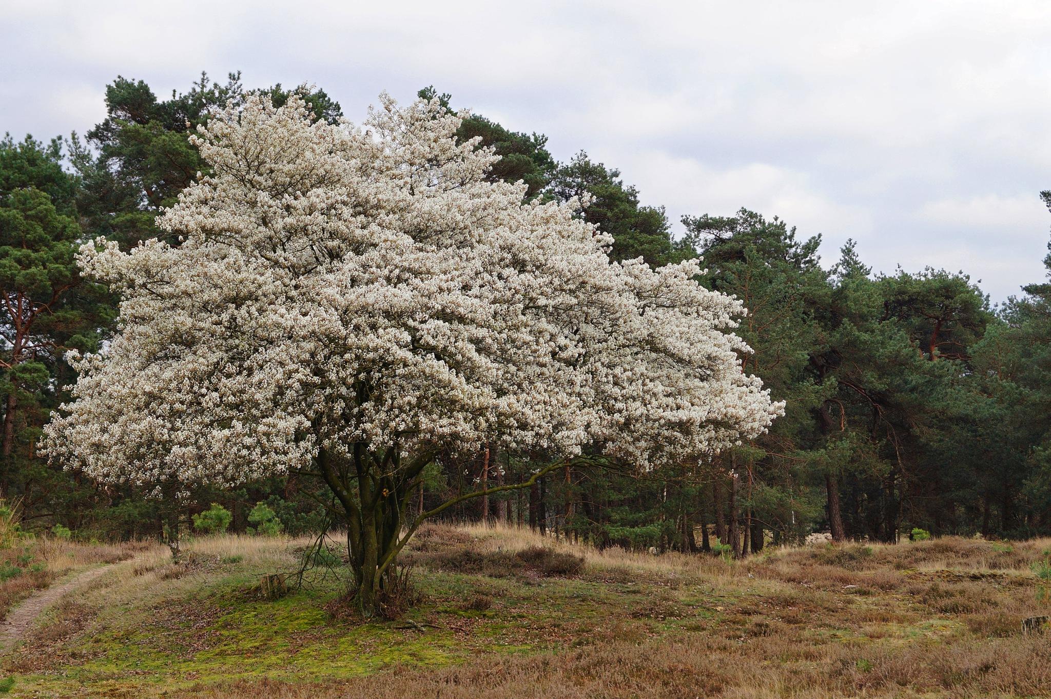 Blossom Tree by Marian Baay