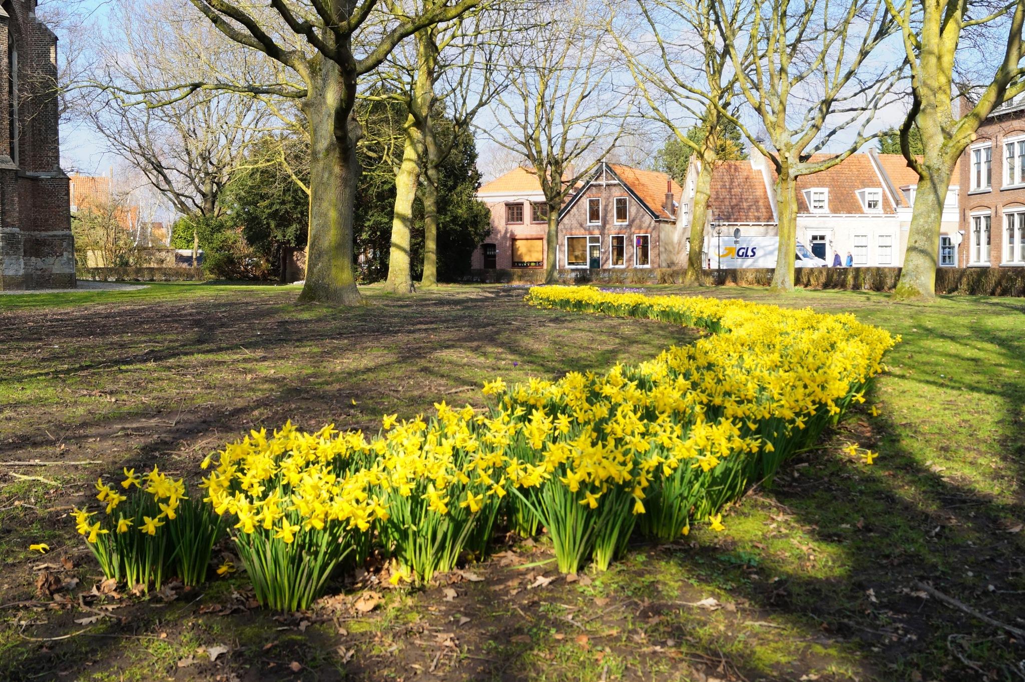 Daffodils by Marian Baay