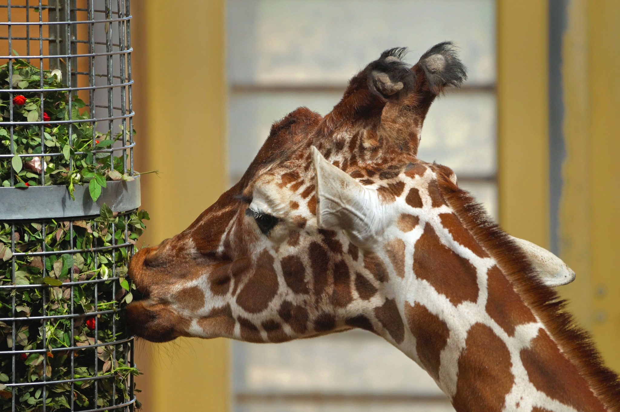 Giraffe by Marian Baay
