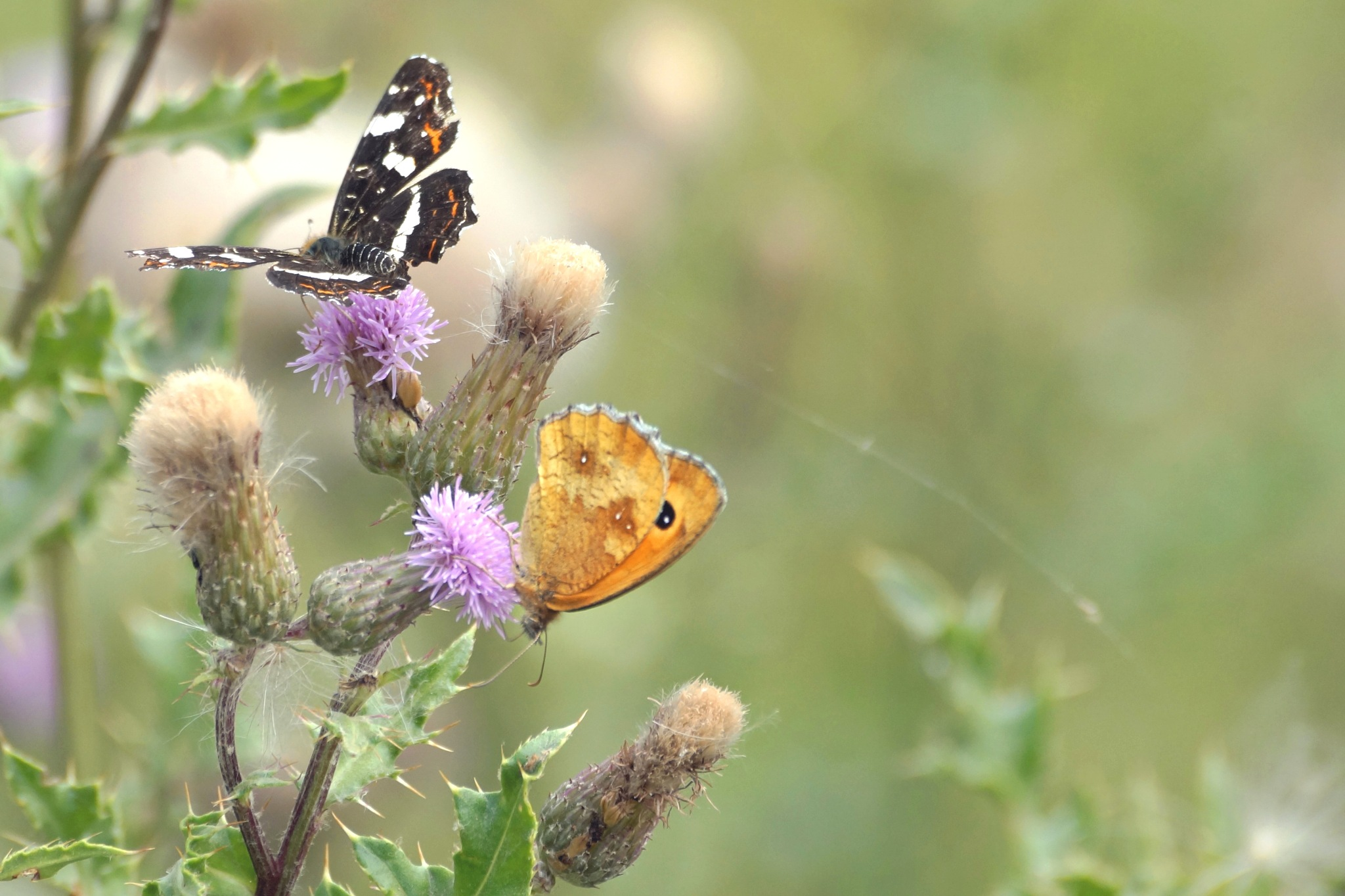 Butterflies by Marian Baay